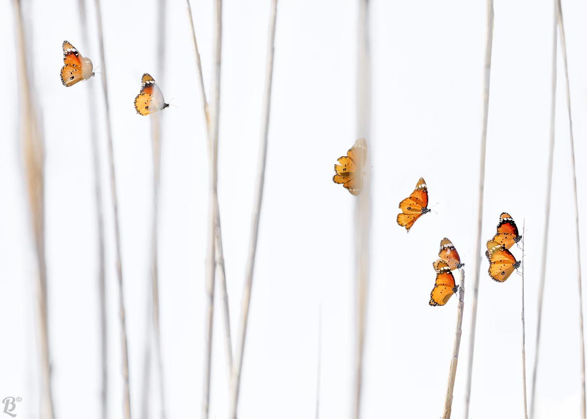 Danaus chrysippus (Butterfly African Monarch)...