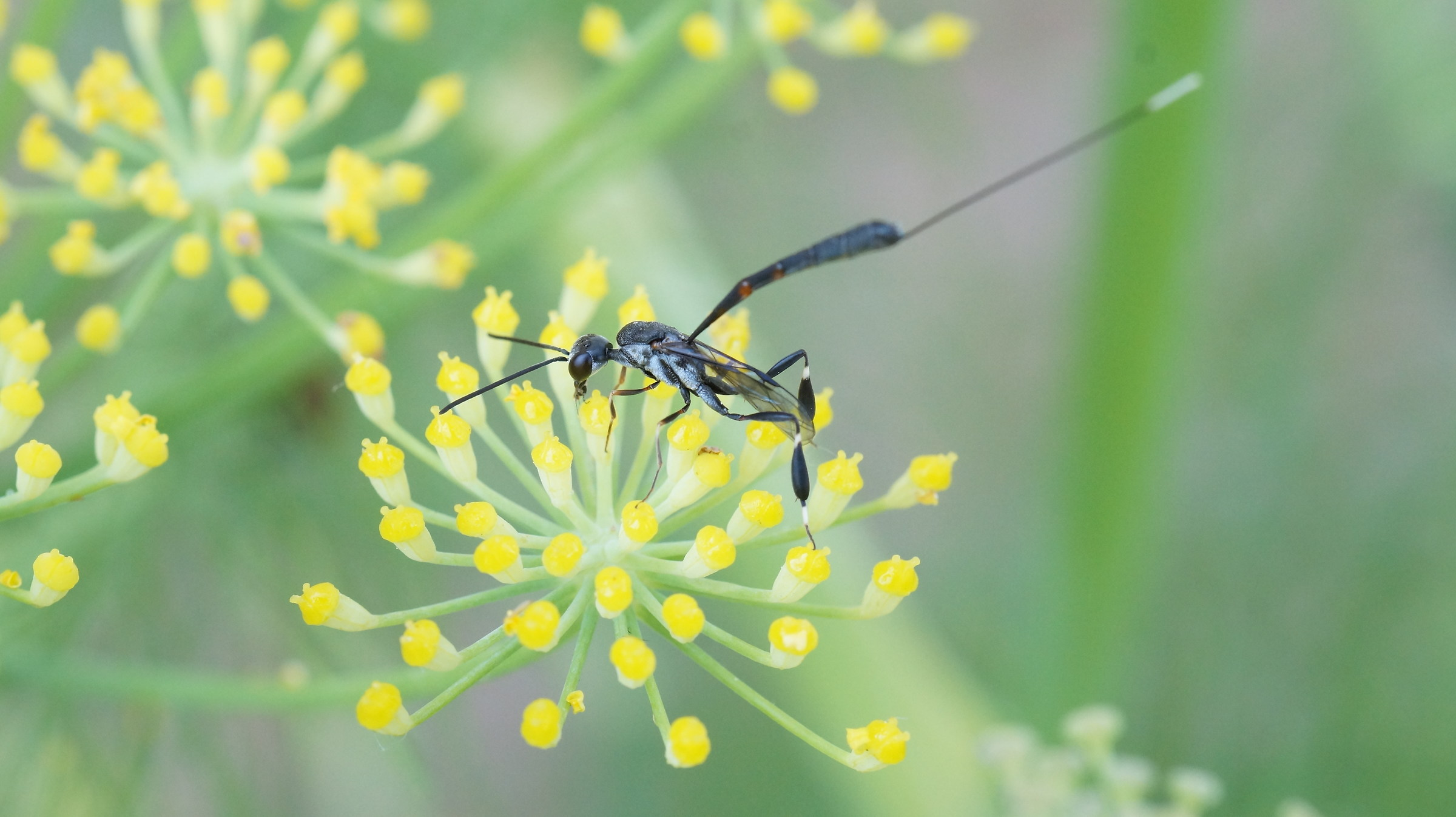 Icneumone on fennel flowers....