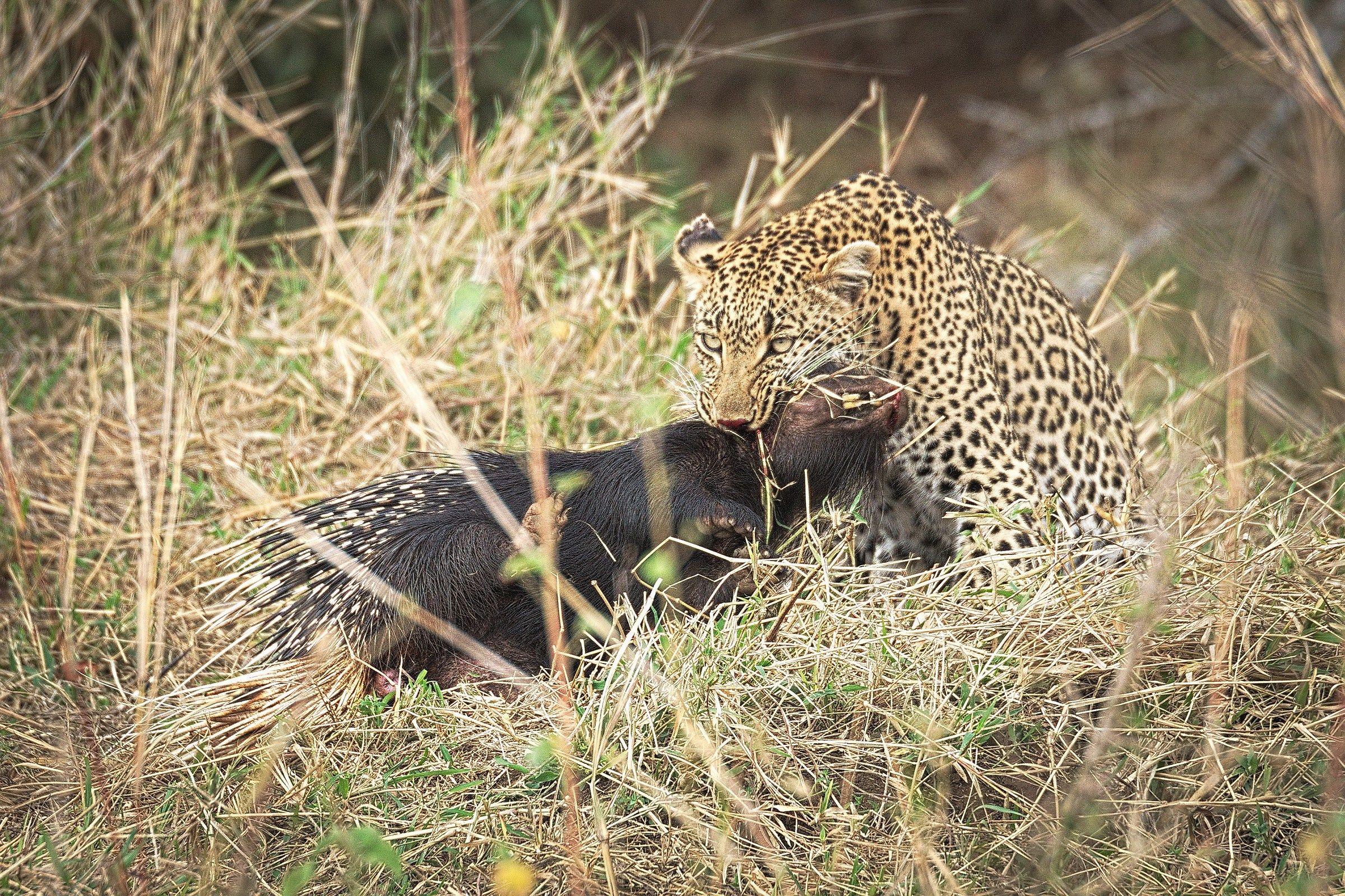 Leopard VS Hunters...