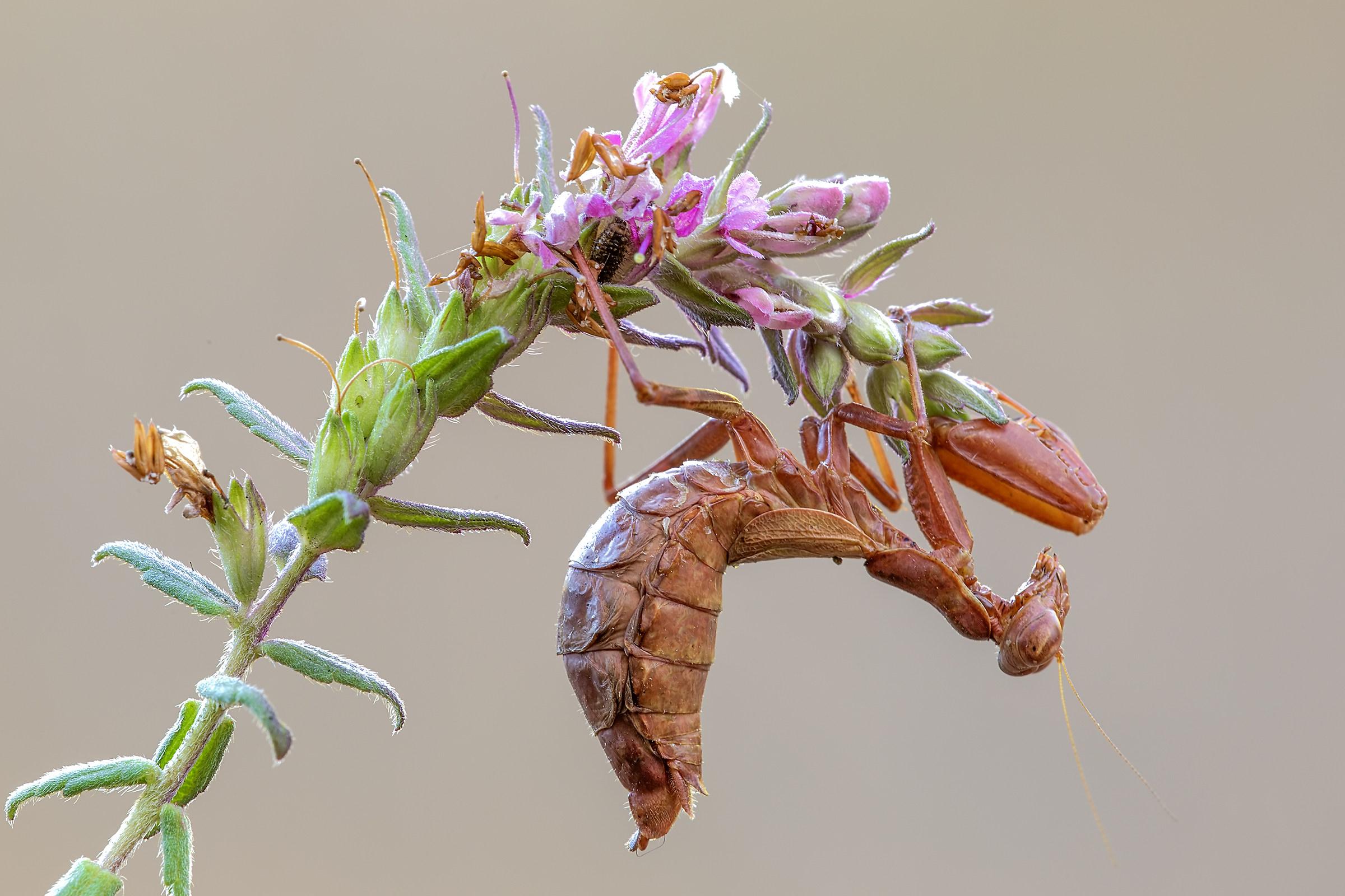 Mantis of Spallanzani...