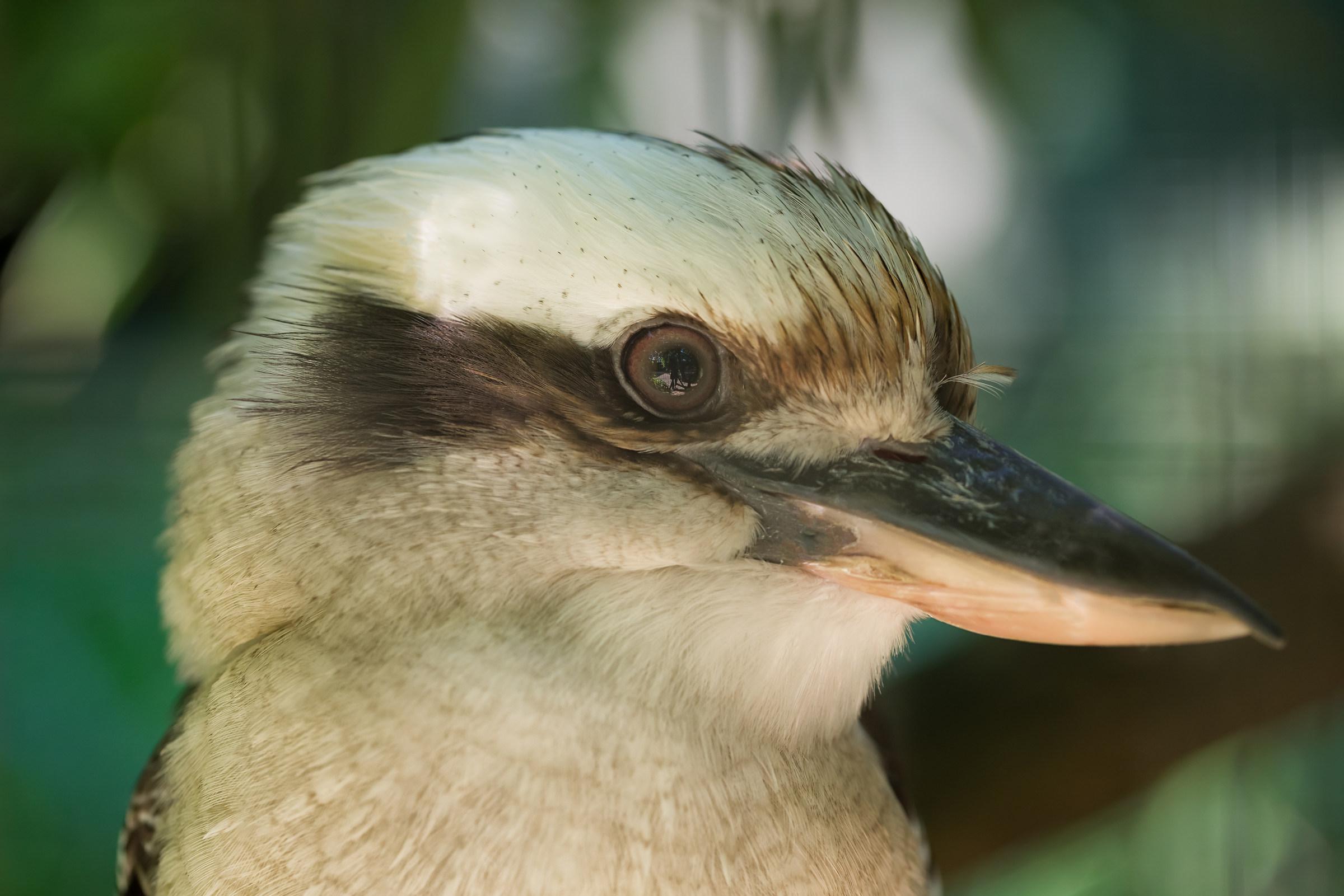 kookaburra...