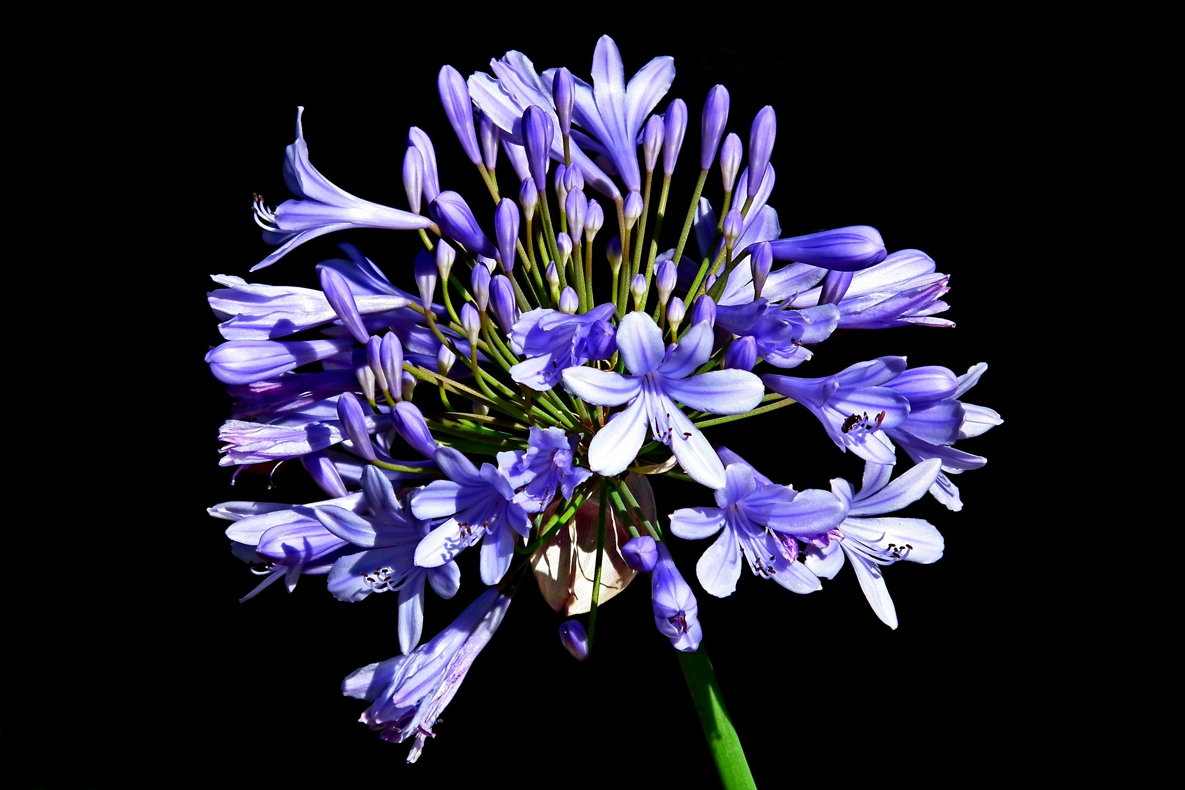 Agapanthus blu fiore dell'amore...
