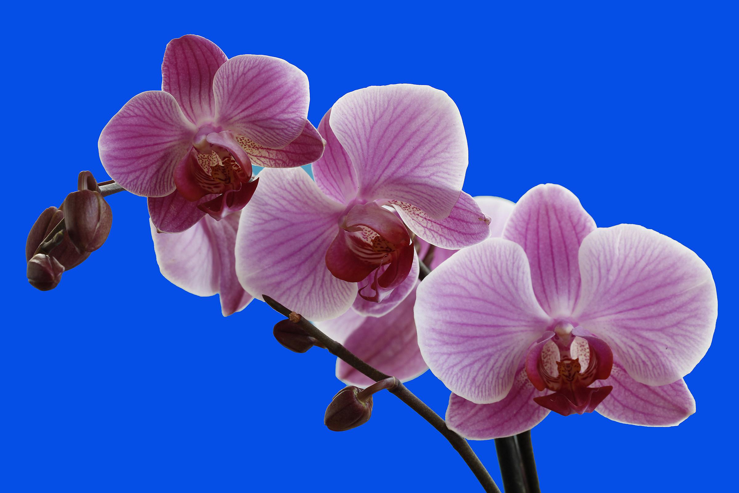Orchidea 2...