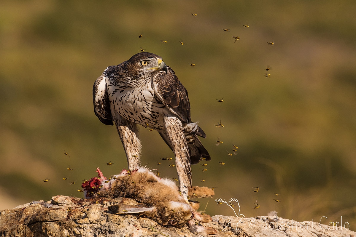 Bonelli's eagle with wasps...