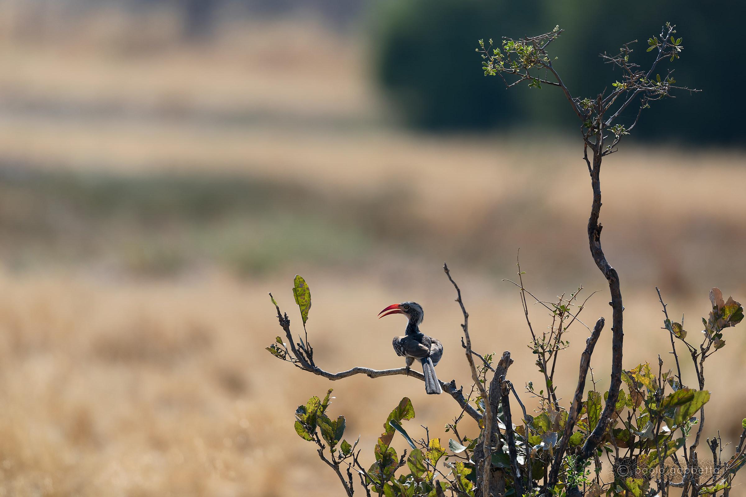 Reddish red beak...