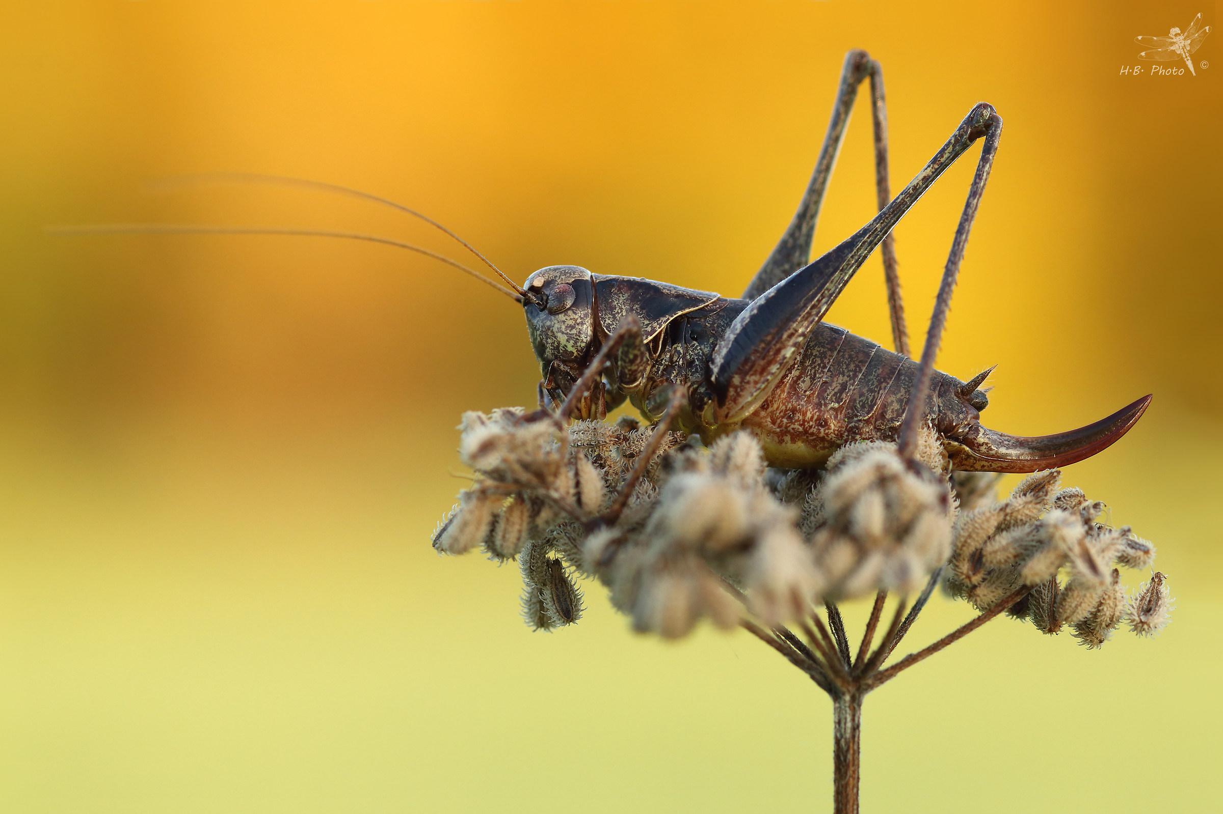 Pholidoptera griseoaptera, female...