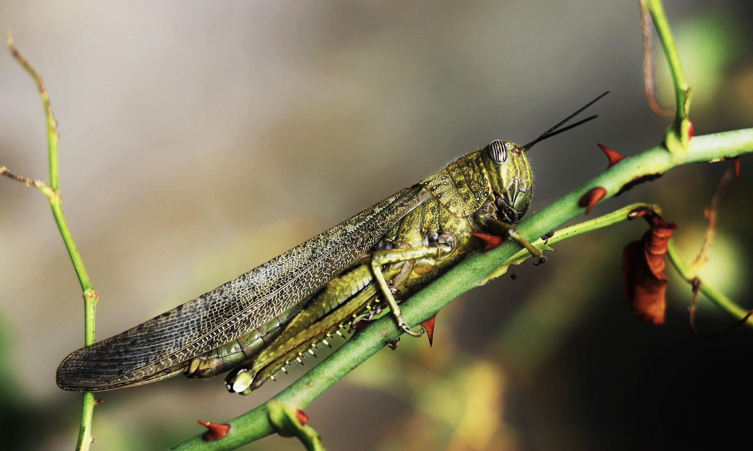 Locust Anacridium aegyptium...