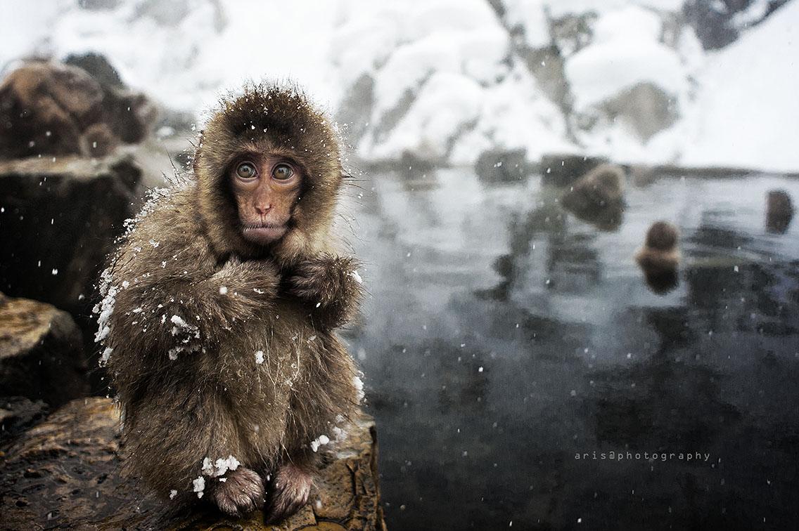 Snowmonkeys...