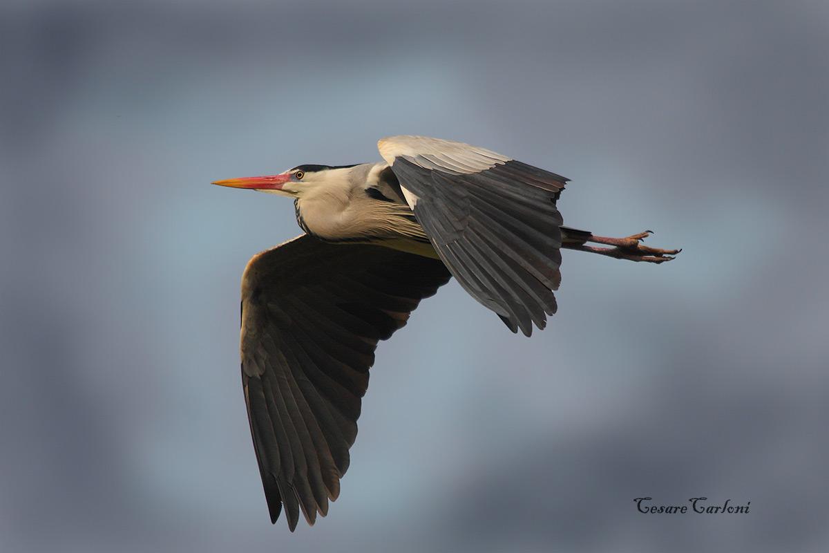 Grass heron...