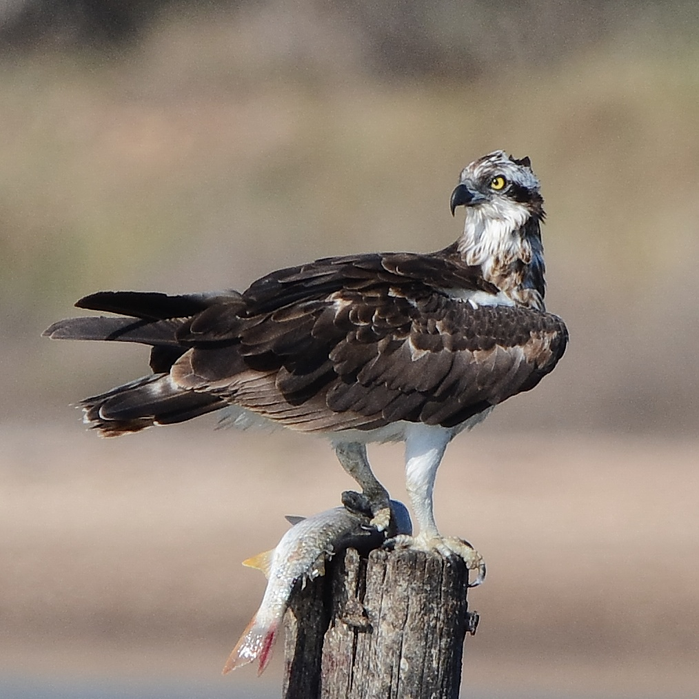 Falcon fisherman with prey...