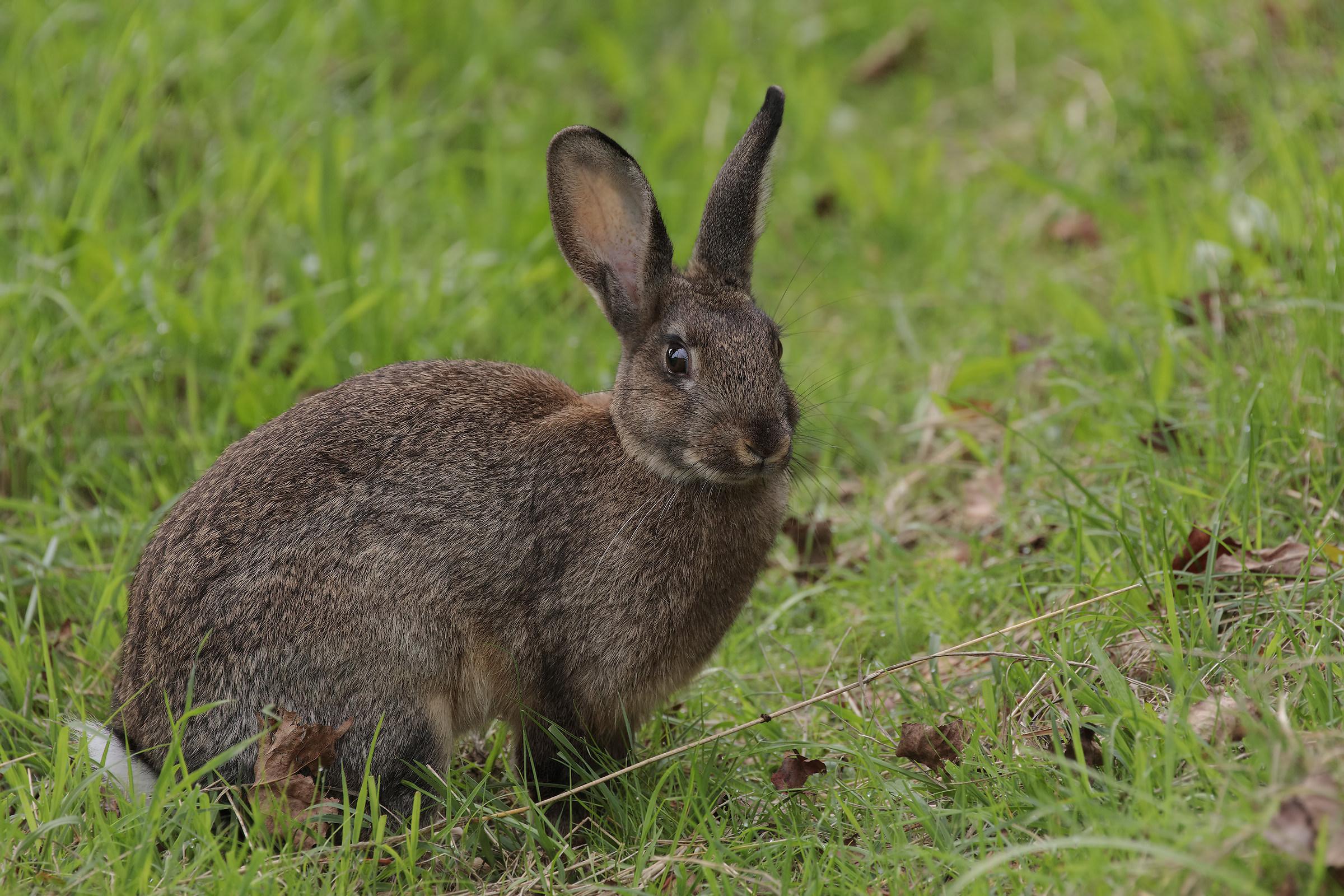 Lepre o coniglio selvatico...