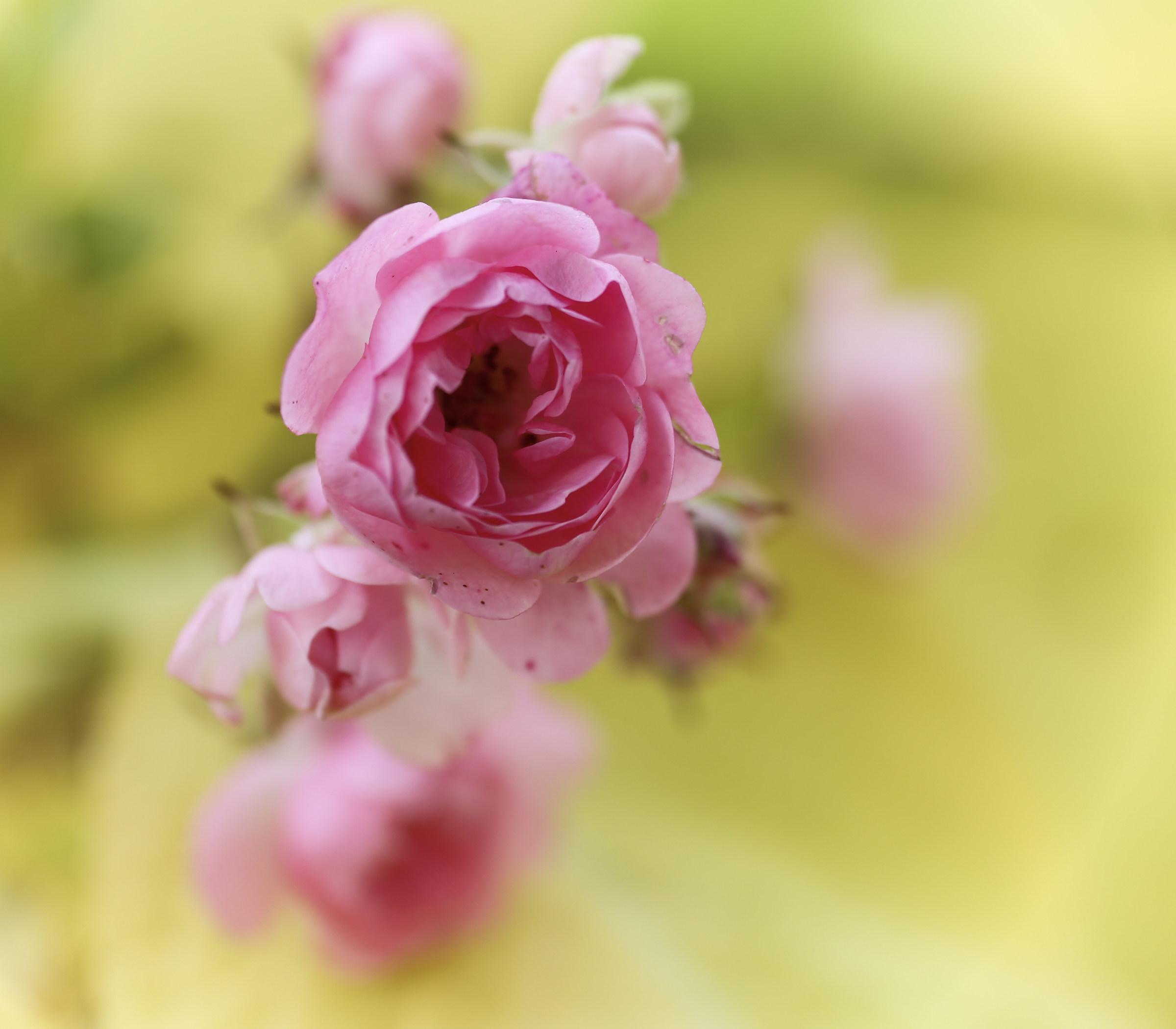 The last roselline...