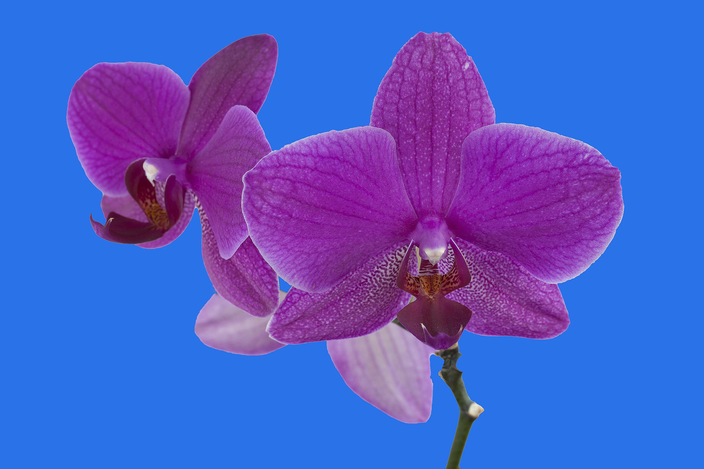 Orchidea 7...