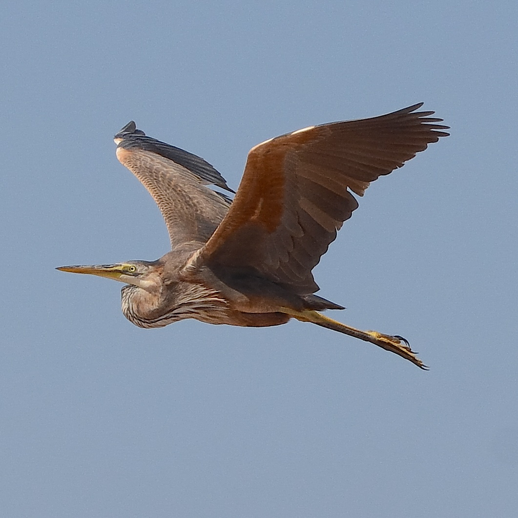 Red heron...