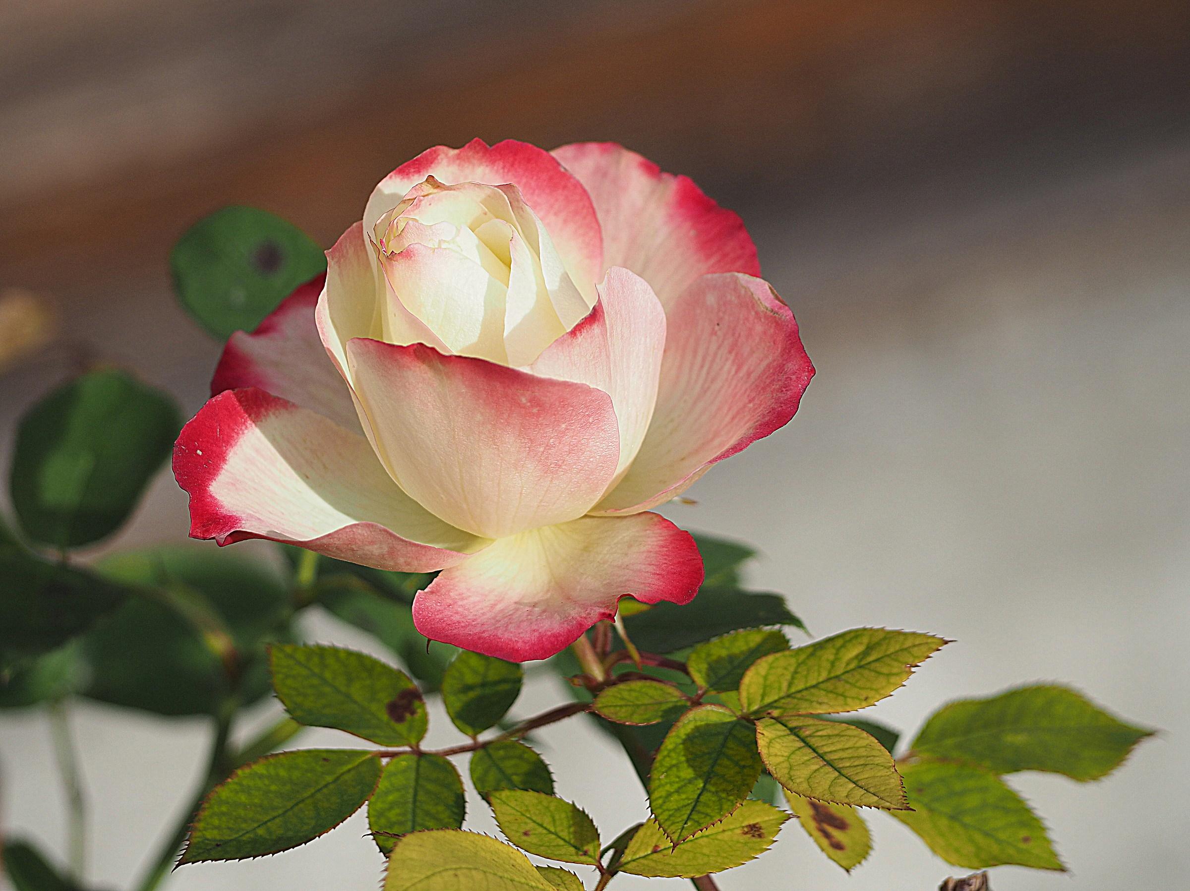 December 1 .. still roses...