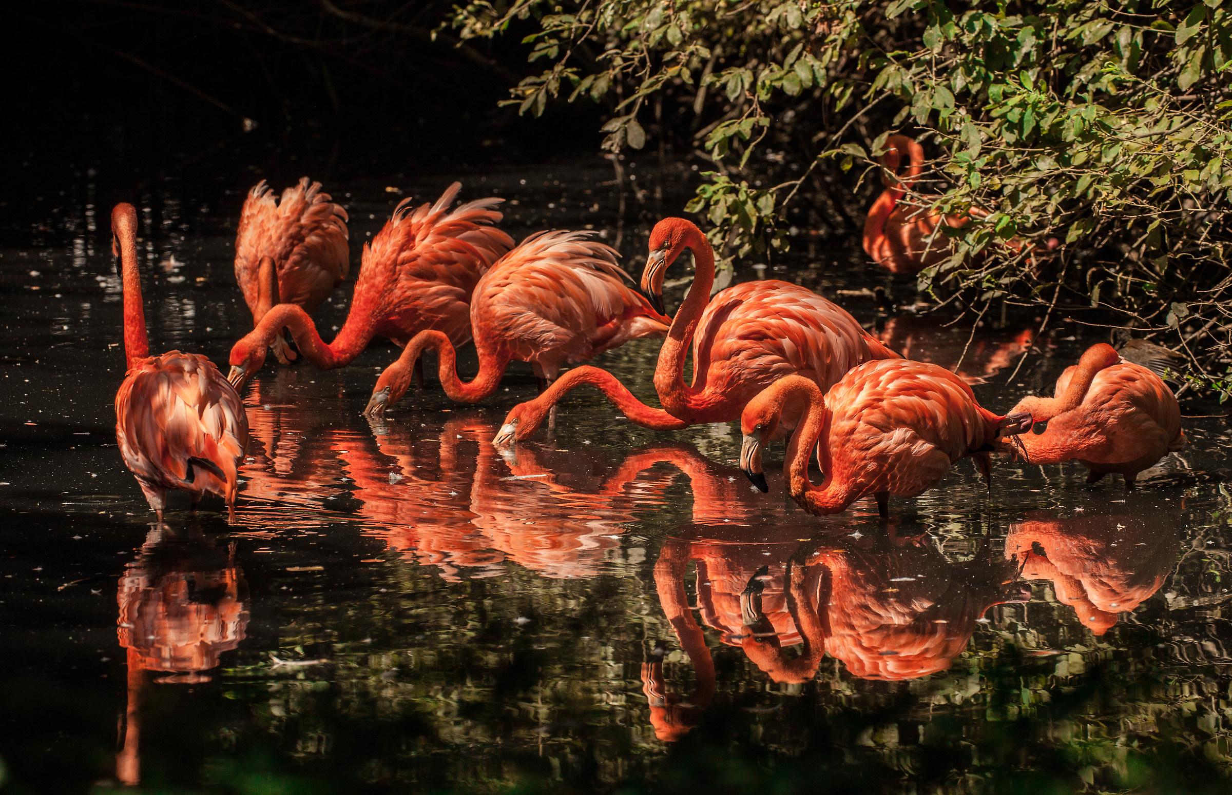 Flamingos of Cuba...