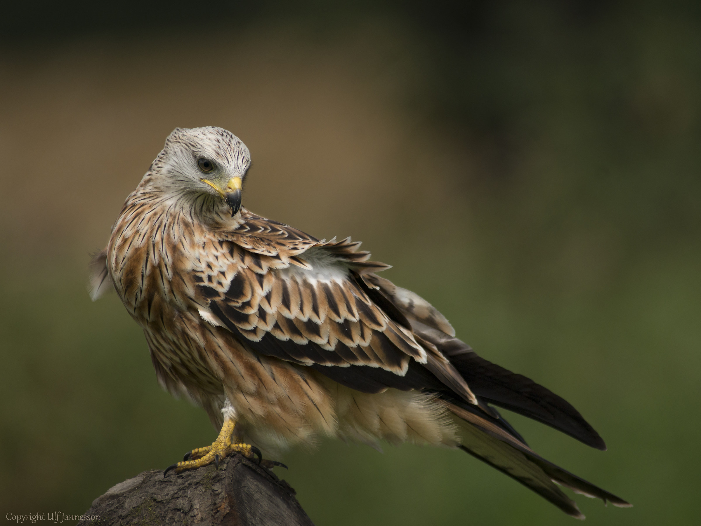 Red Kite - In his fine plumage...