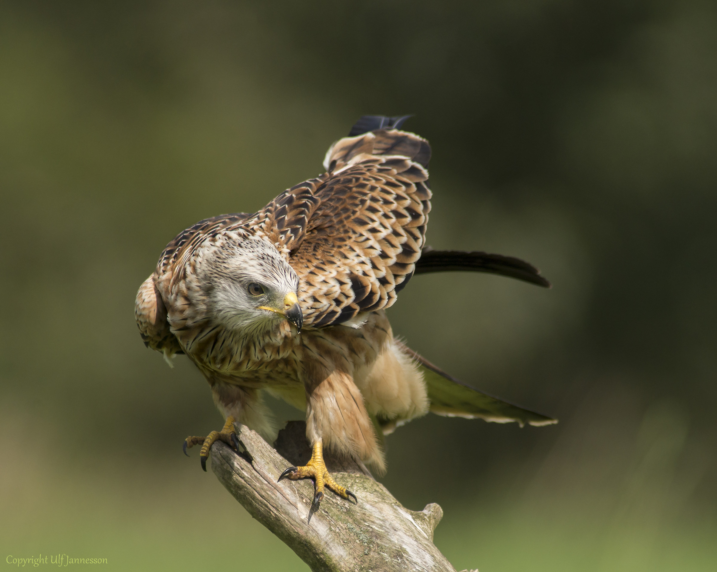 Red Kite - Who there...