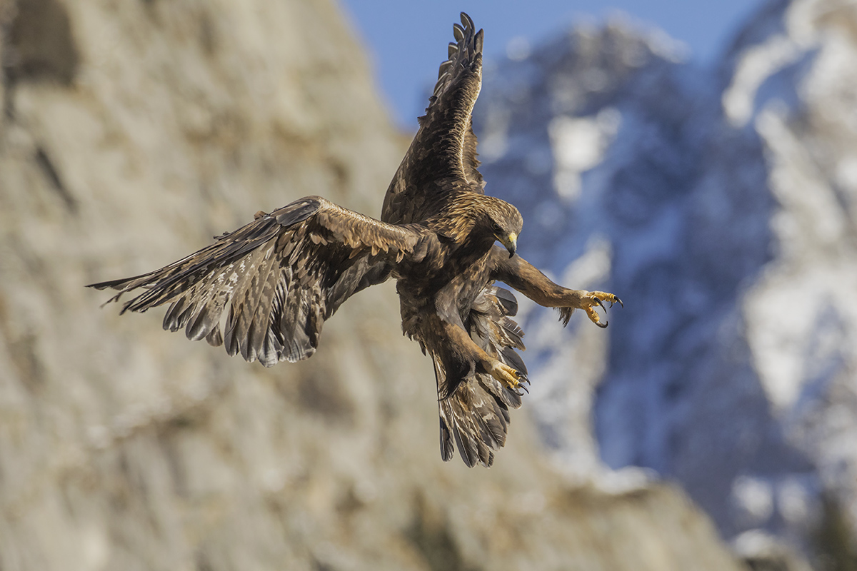 Aquila chrysaetos...