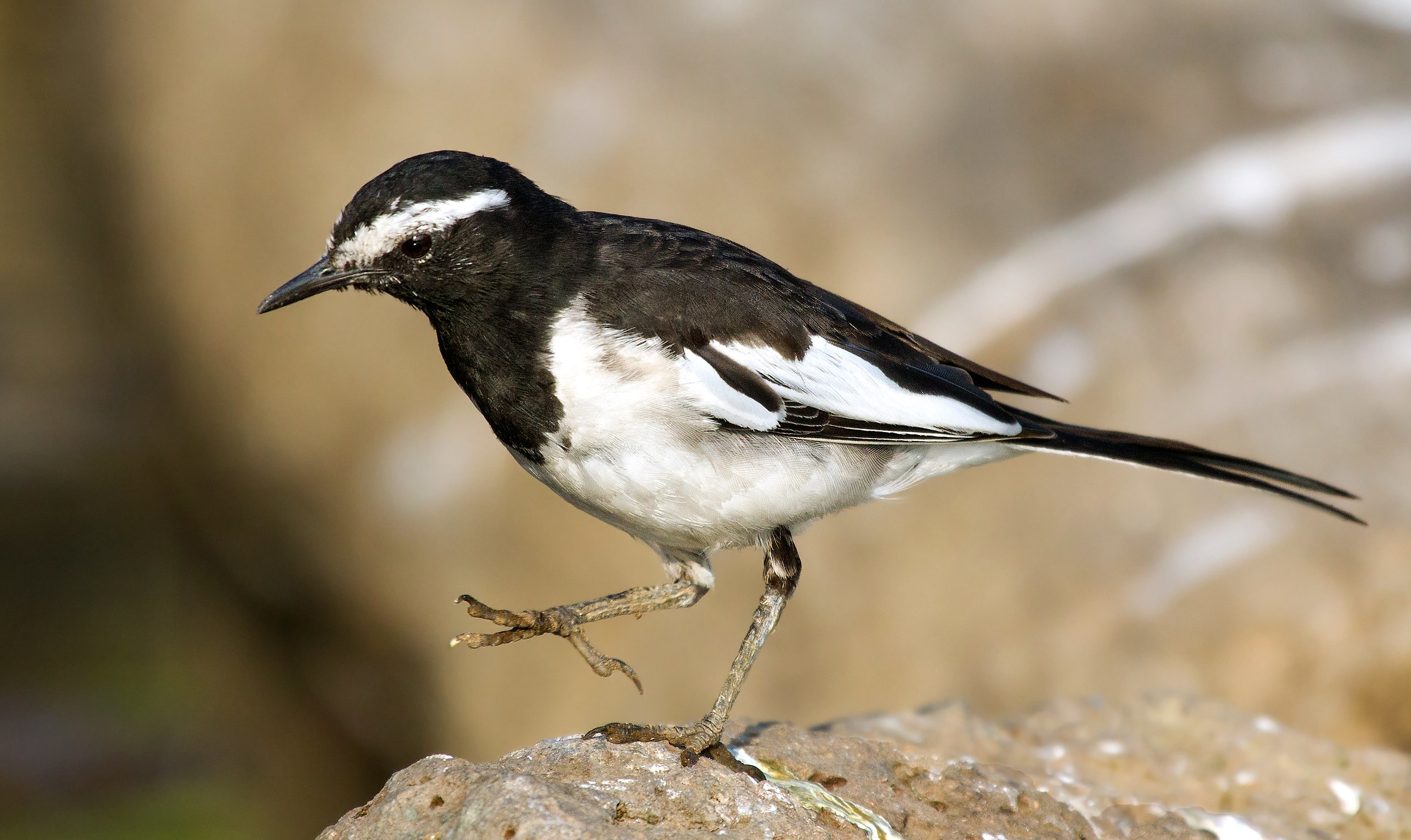 Pied Wagtail...