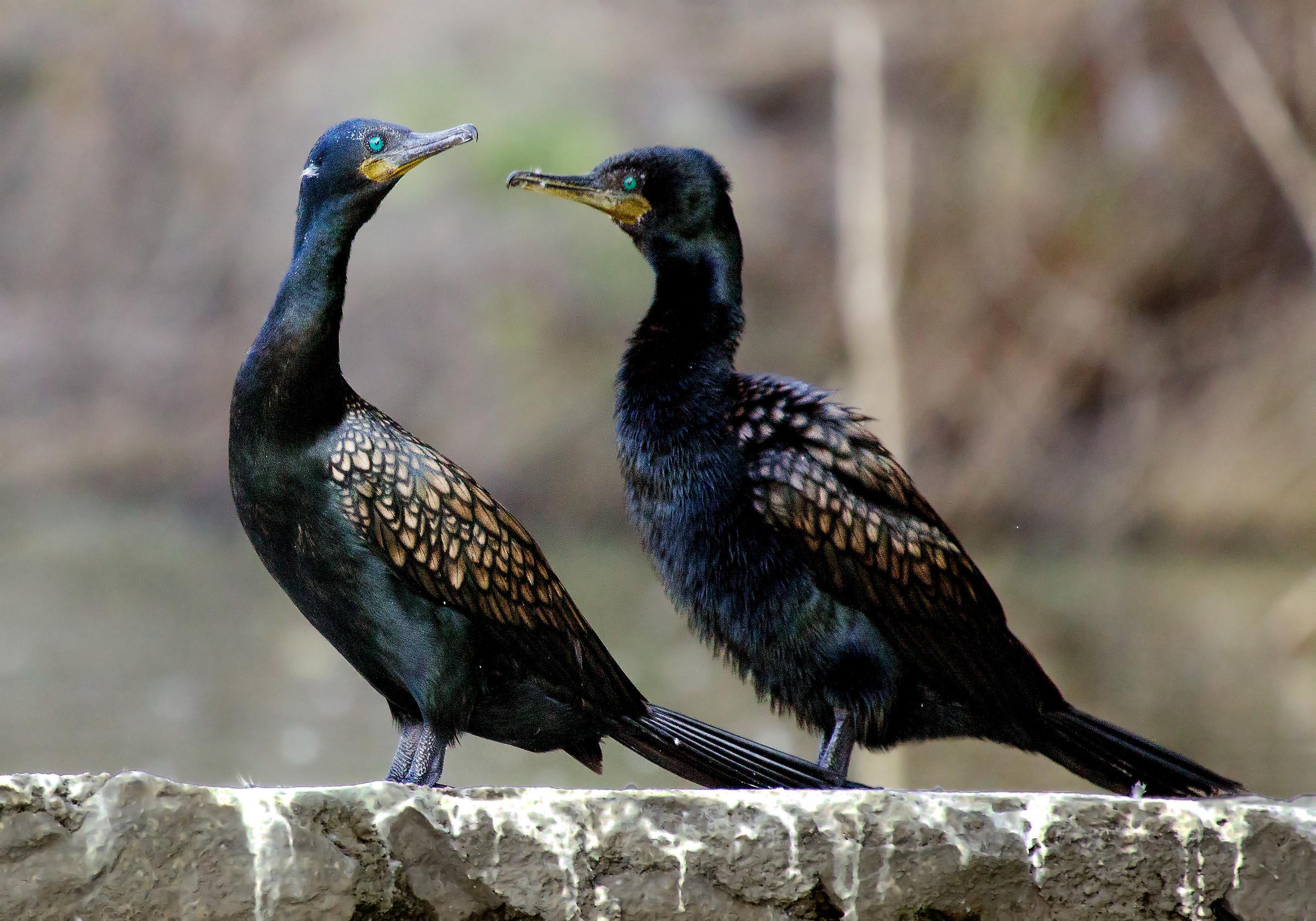 Indian Cormorant....