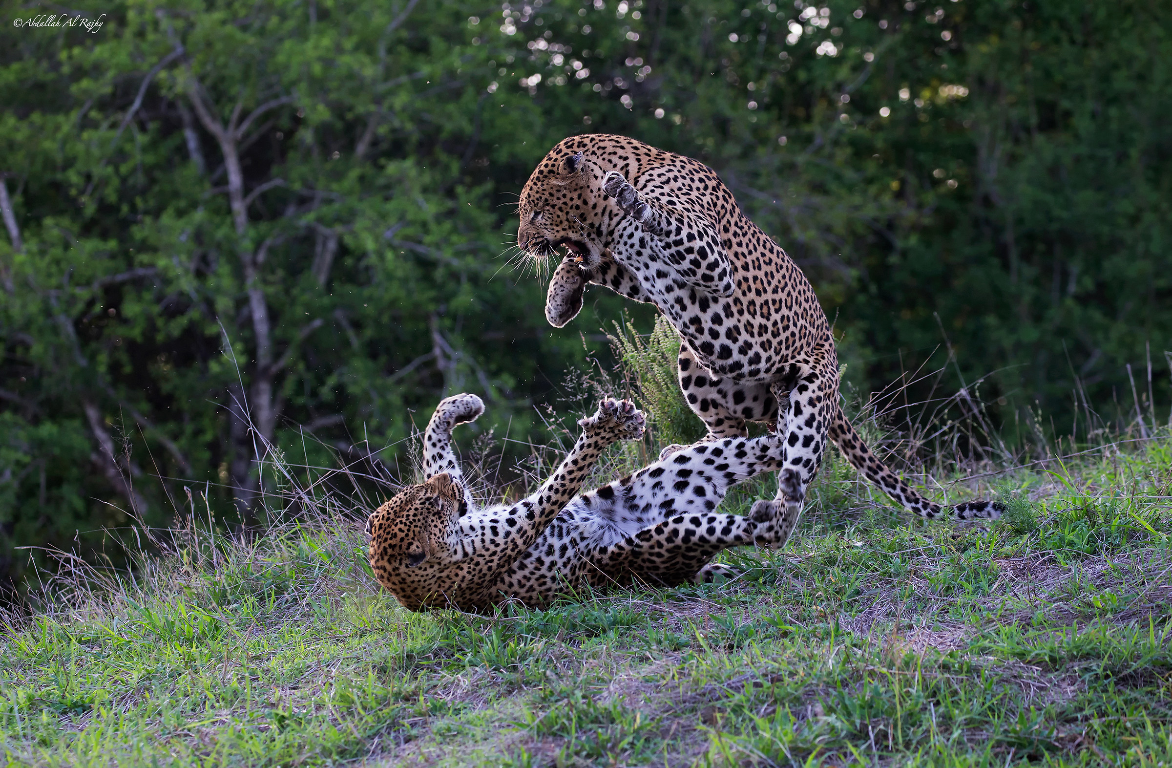Leopards...