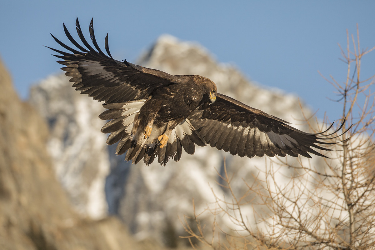 Golden Eagle, young of the year...