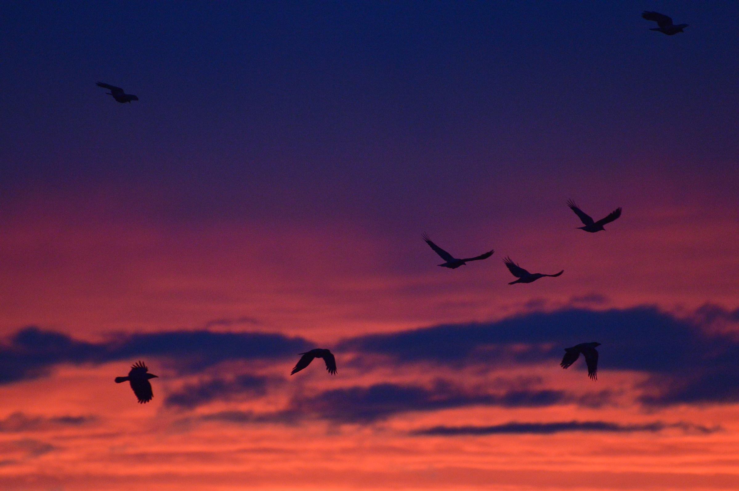Corvacci al tramonto...
