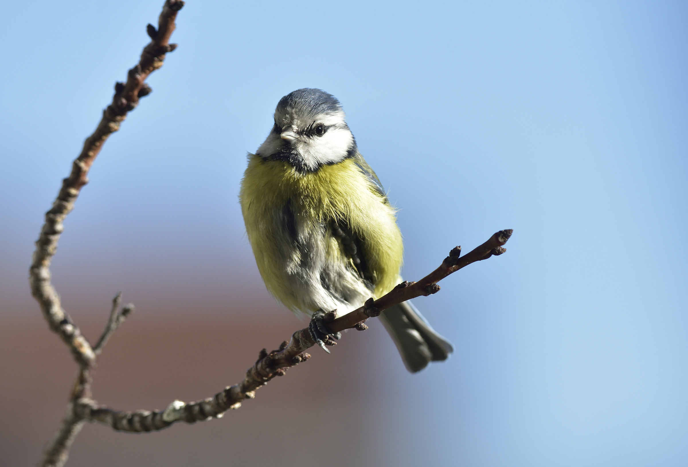 Chilled titmouse 1...