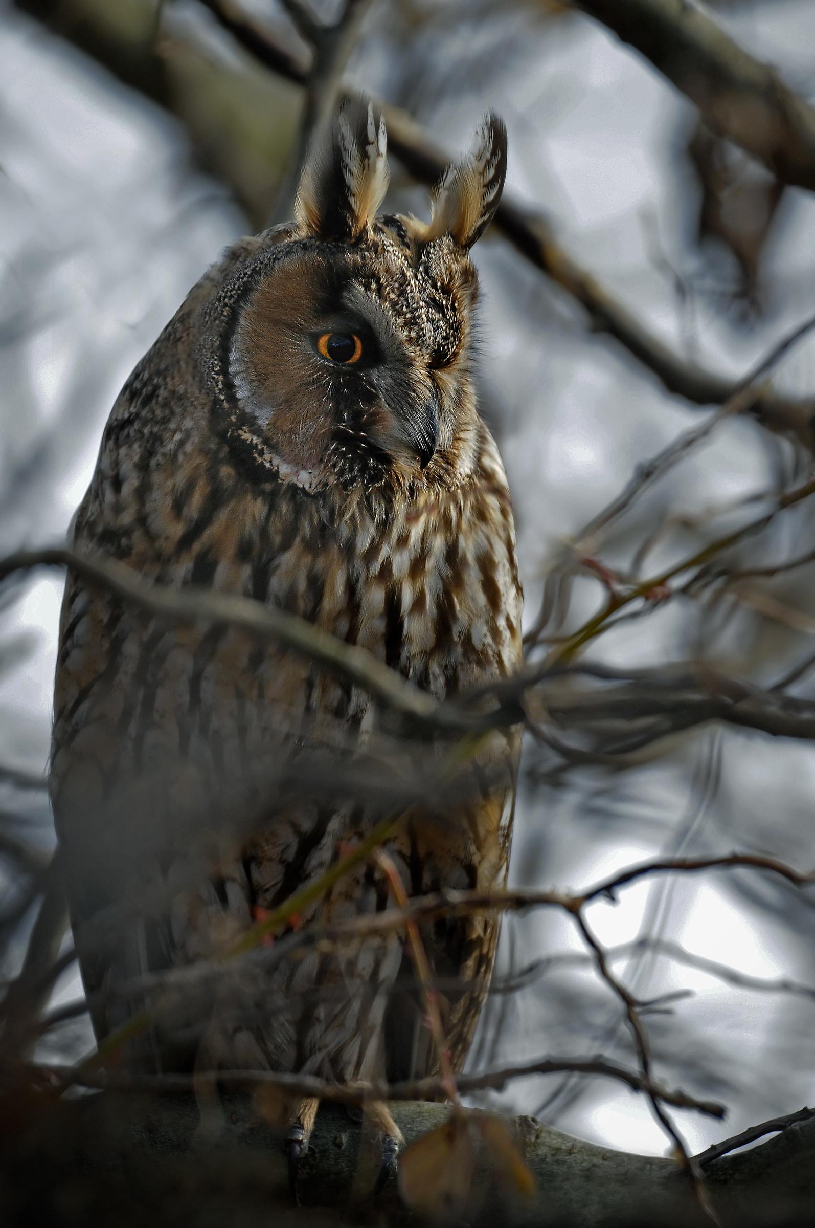 Spirit of the night - Owl...