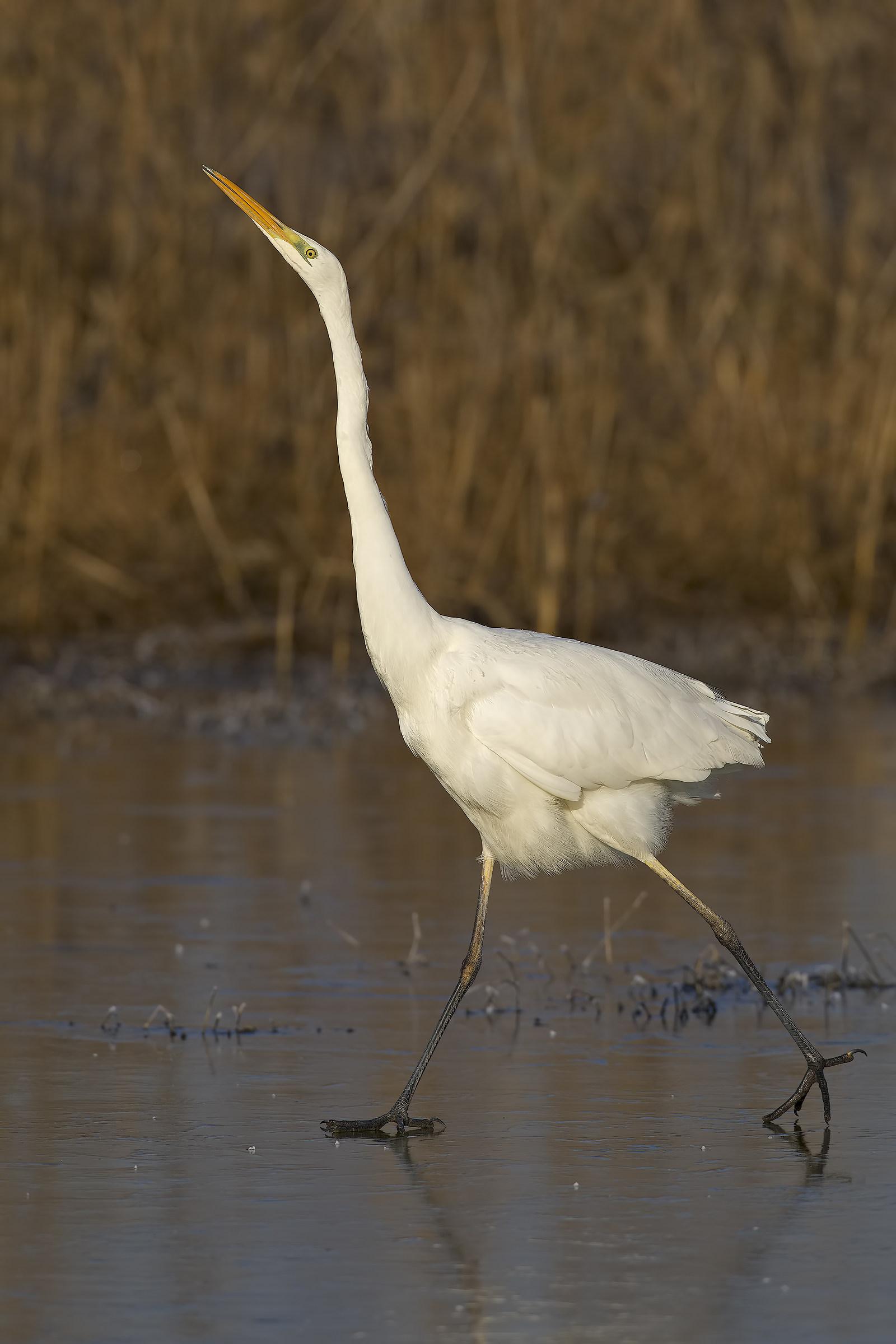 Great white heron...