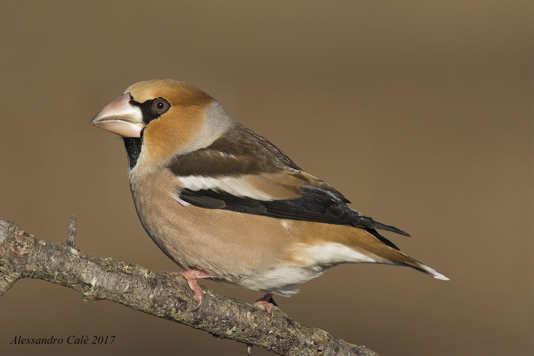 Coccothraustes coccothraustes (Hawfinch) 6737...