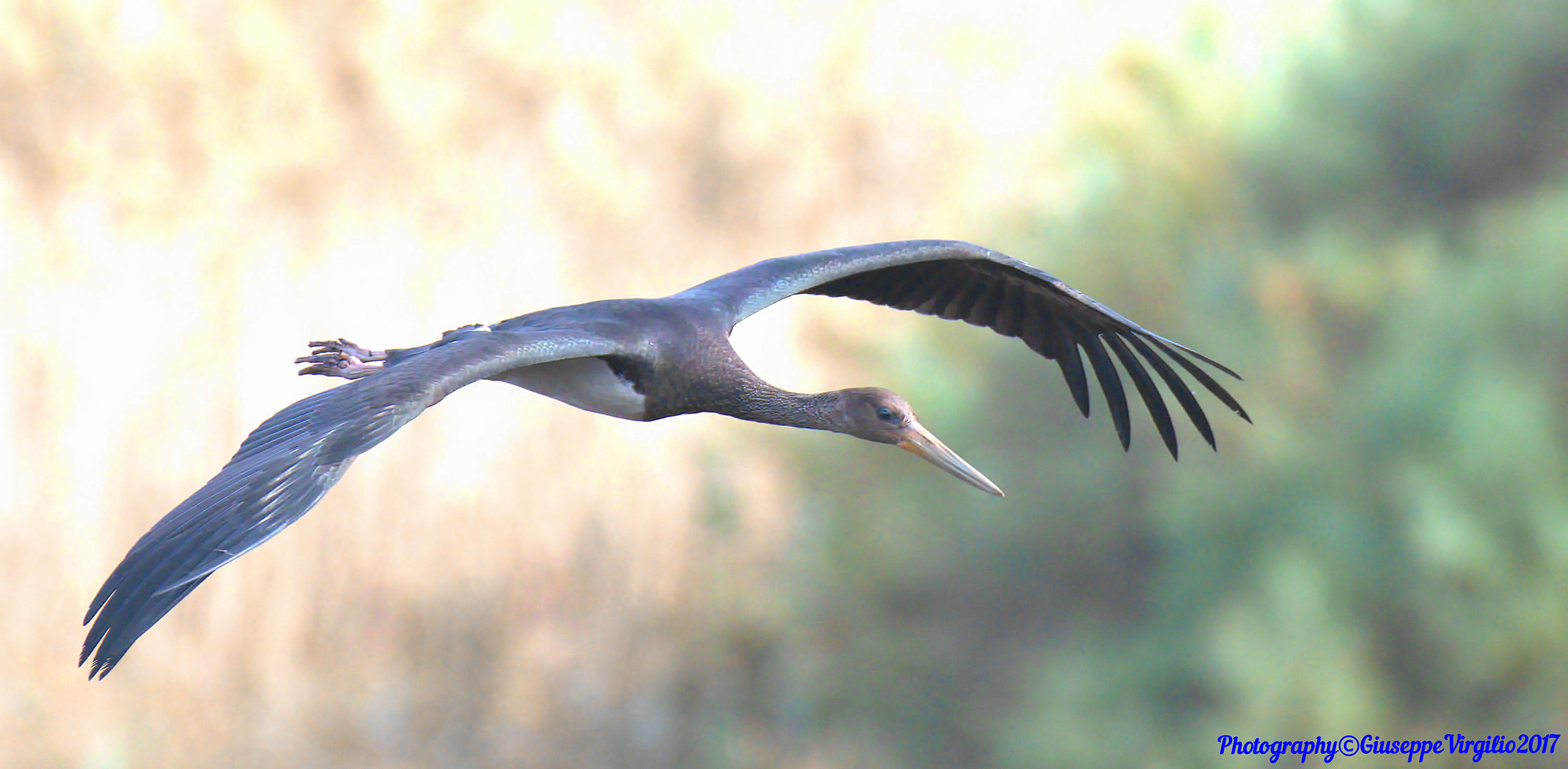 Black Stork (North Sardinia) 2017...