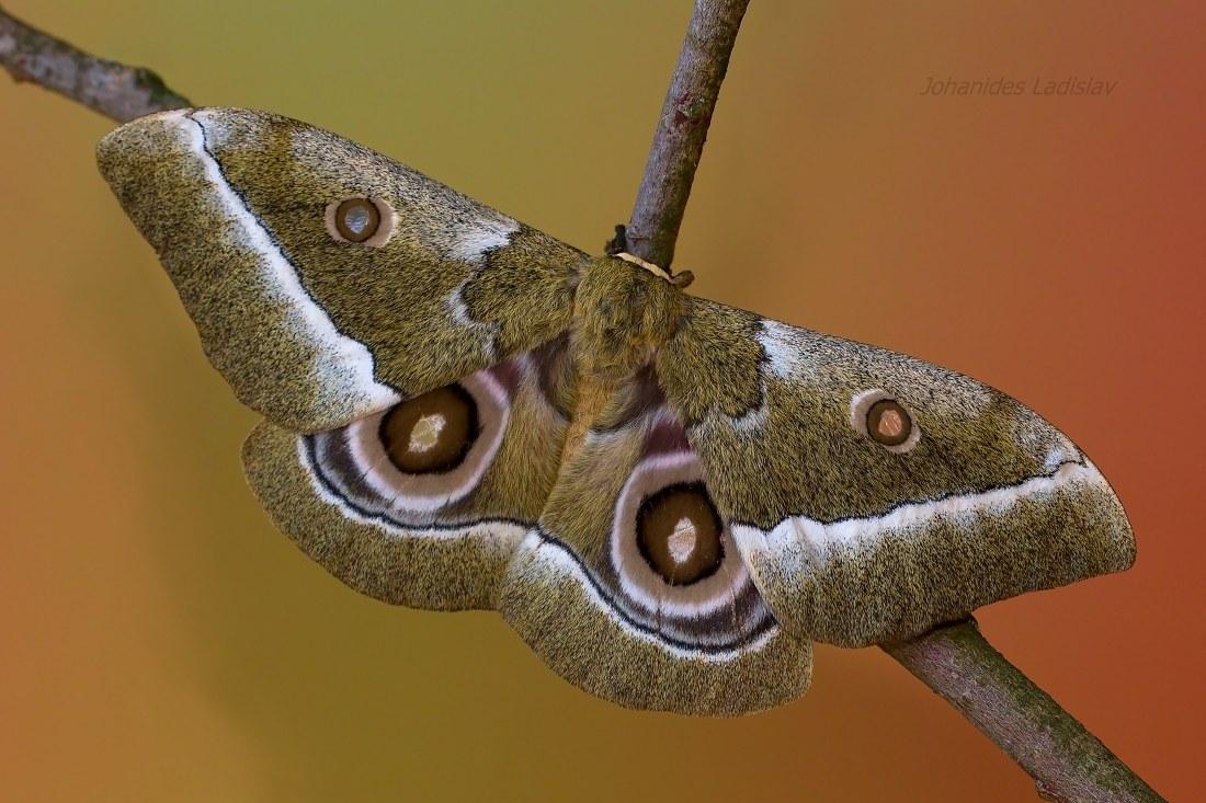 Gonimbrasia zambesina (female)...