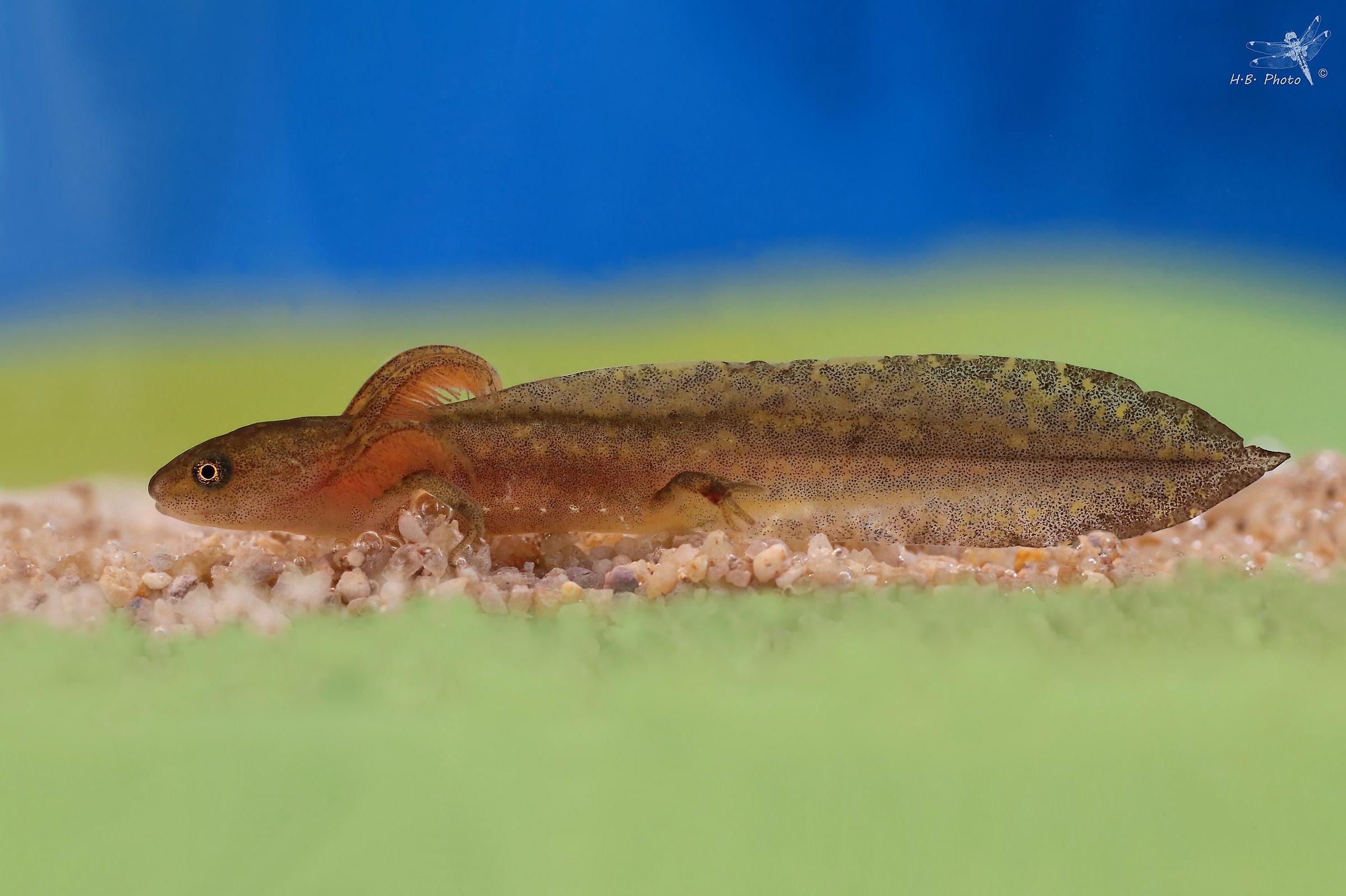 Ichthyosaura alpestris, larvae...