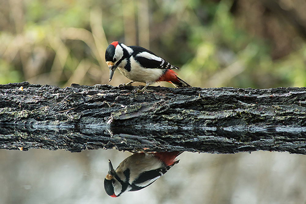 woodpecker vanitosoi...