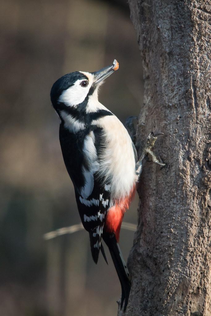 Great spotted woodpecker (female)...