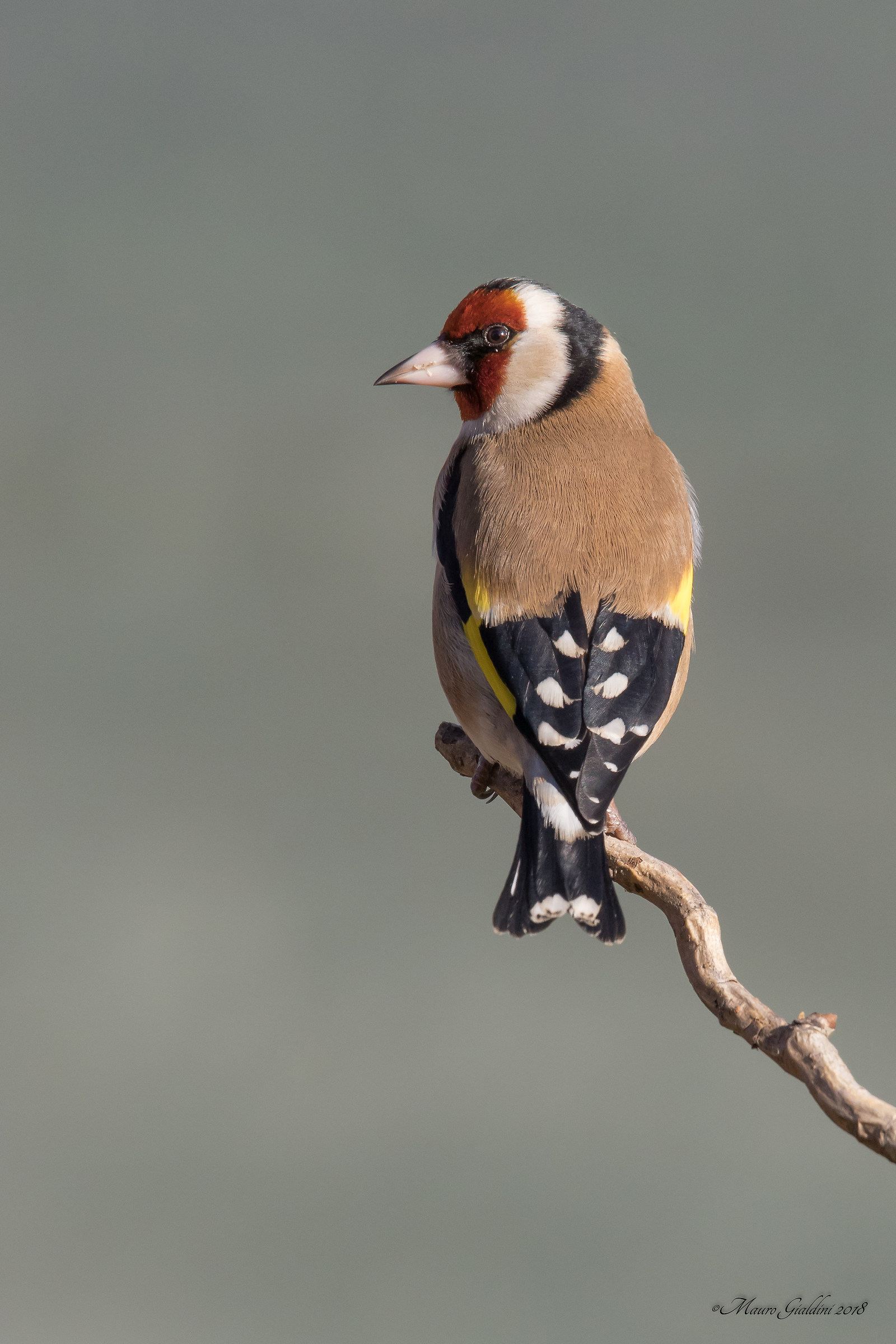 Goldfinch...