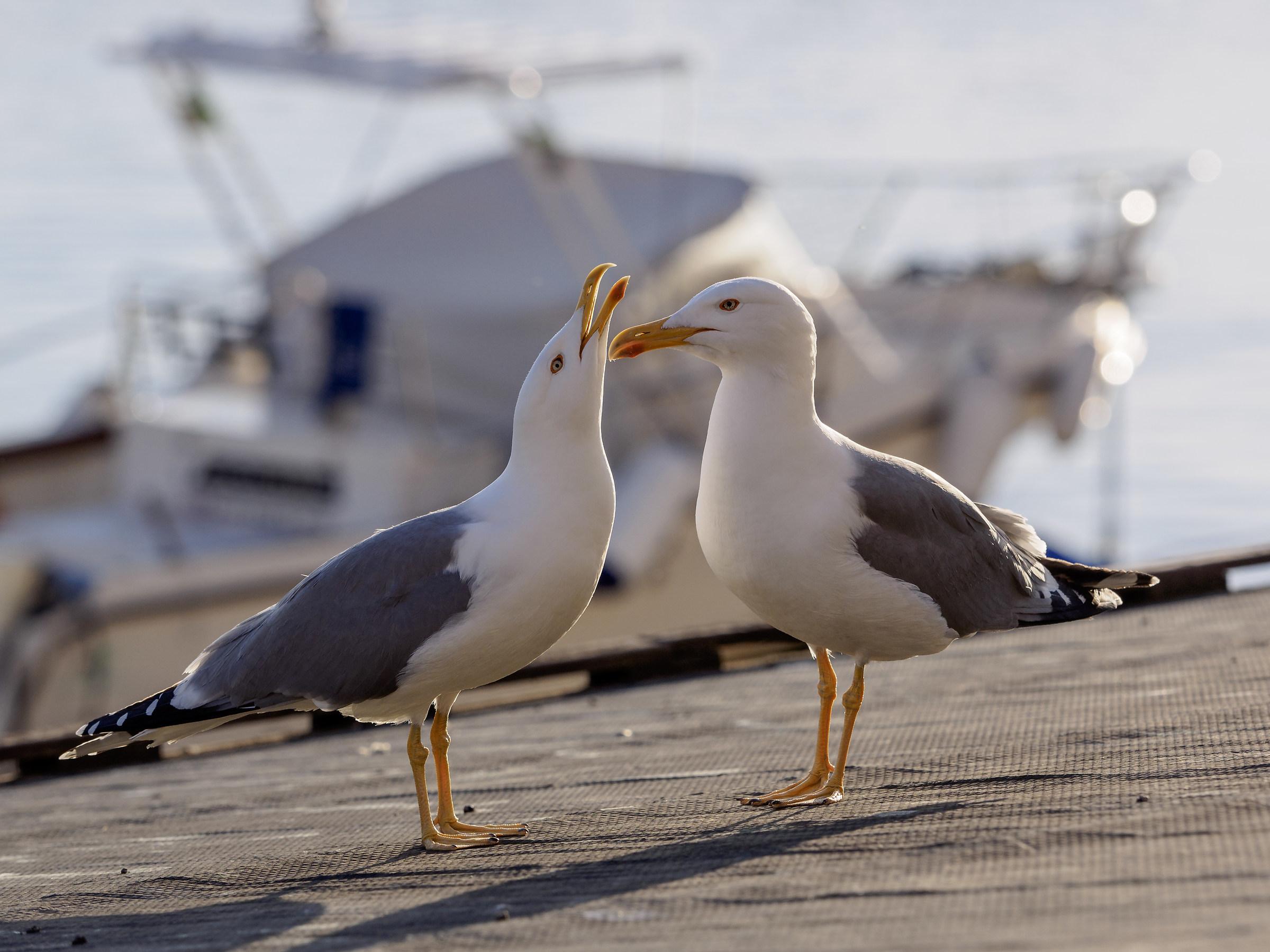 Seagulls in love 2...