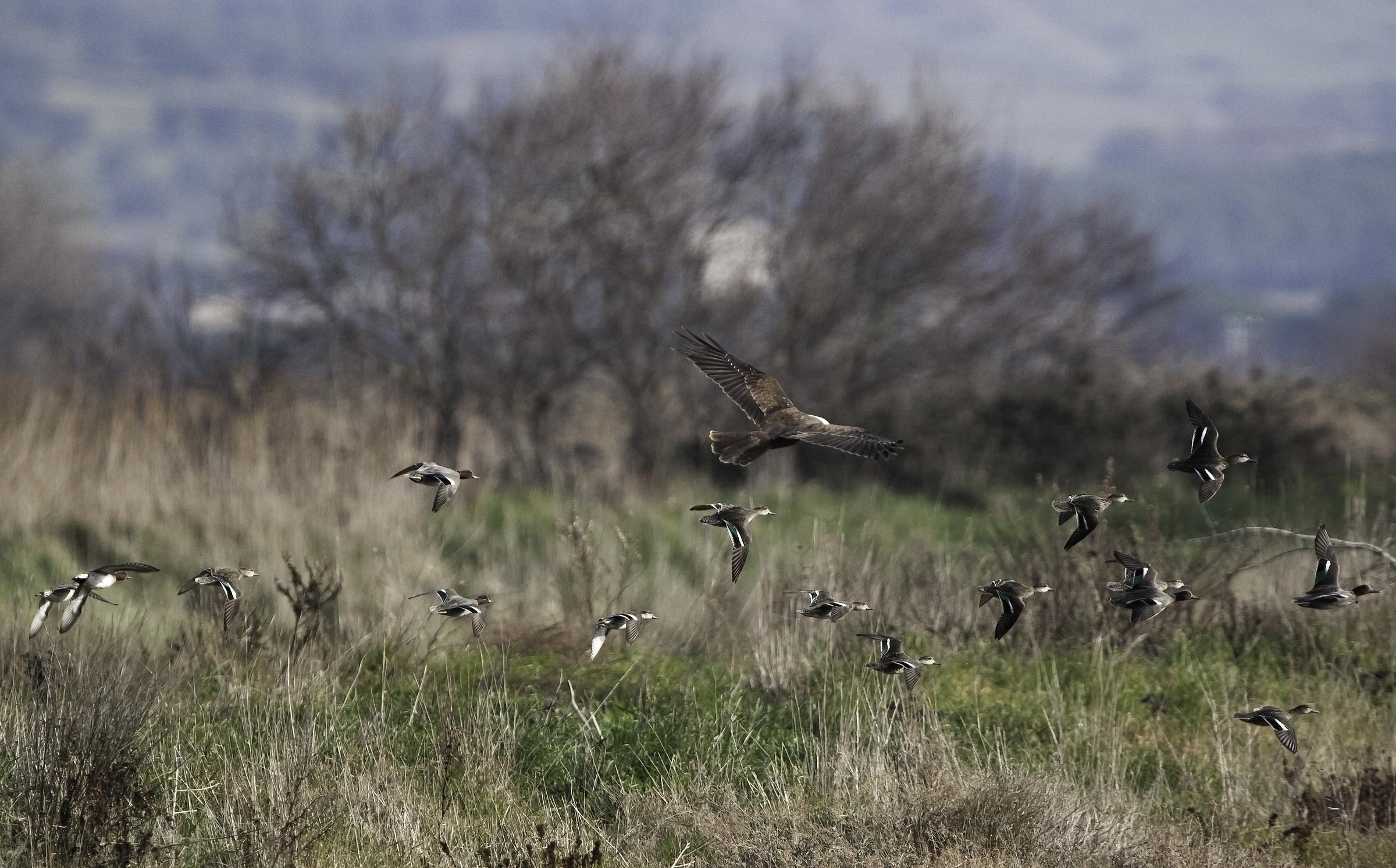 Falco di palude femmina in caccia...