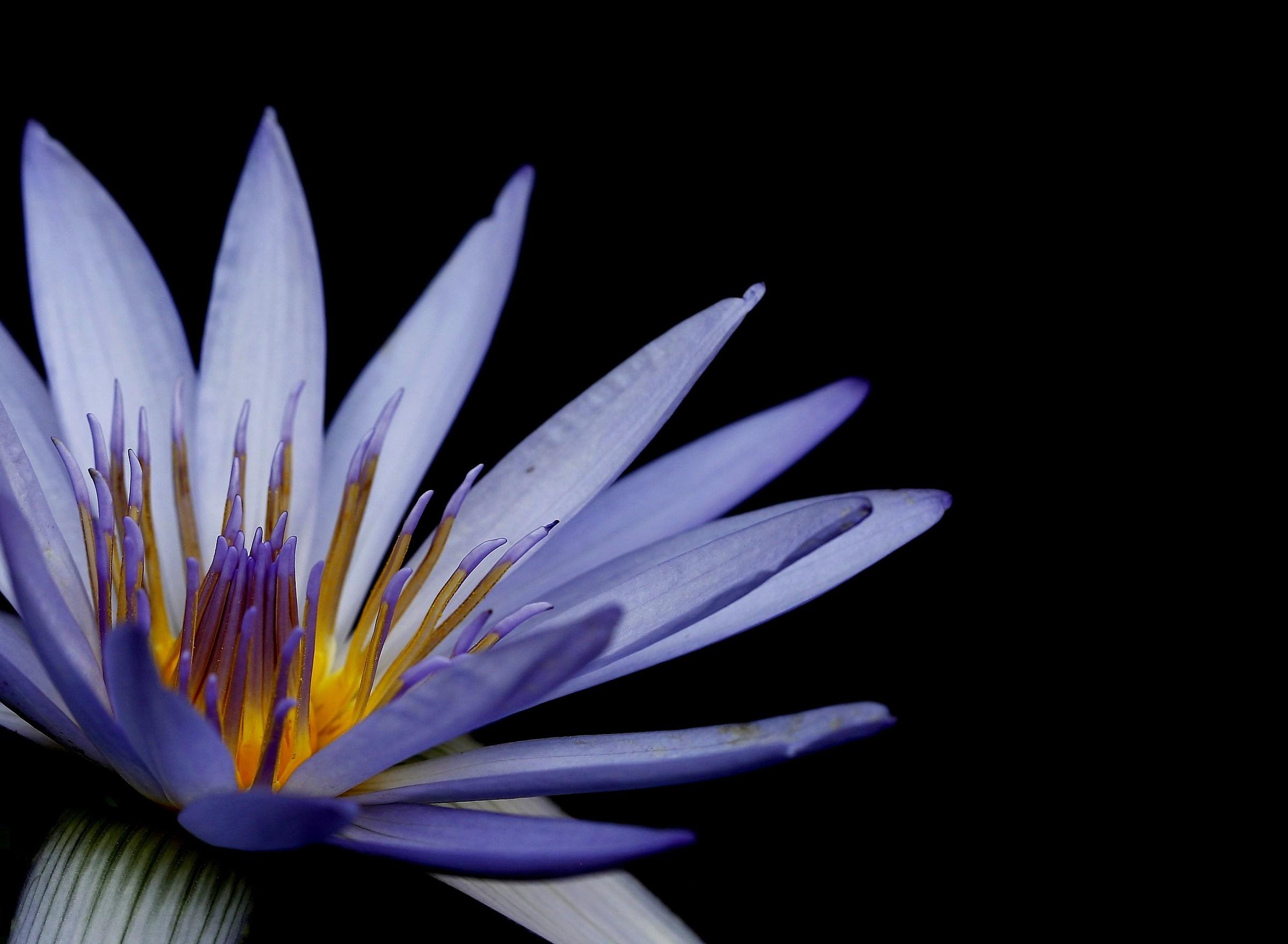 Blue lotus water lily (Ninphaea caerulae)...