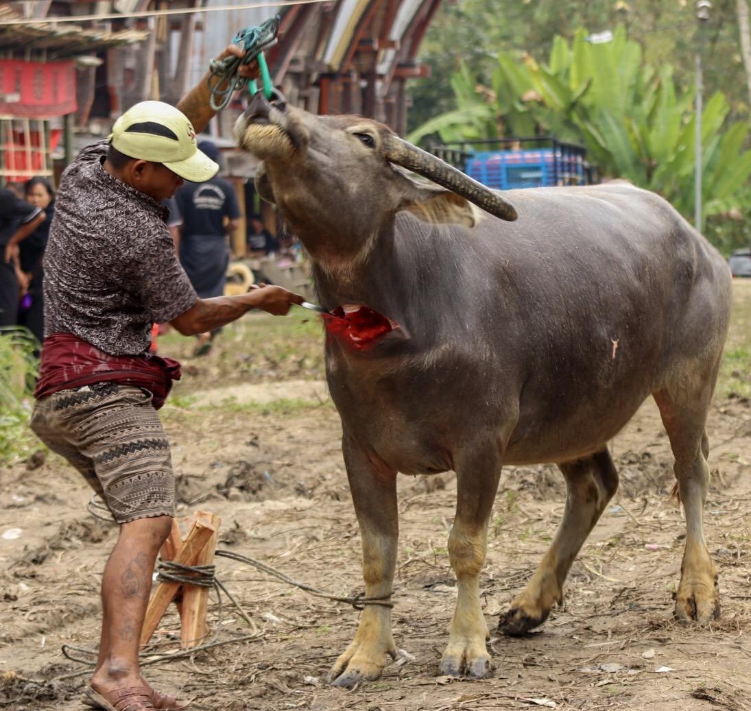 Sacrificial buffalo...
