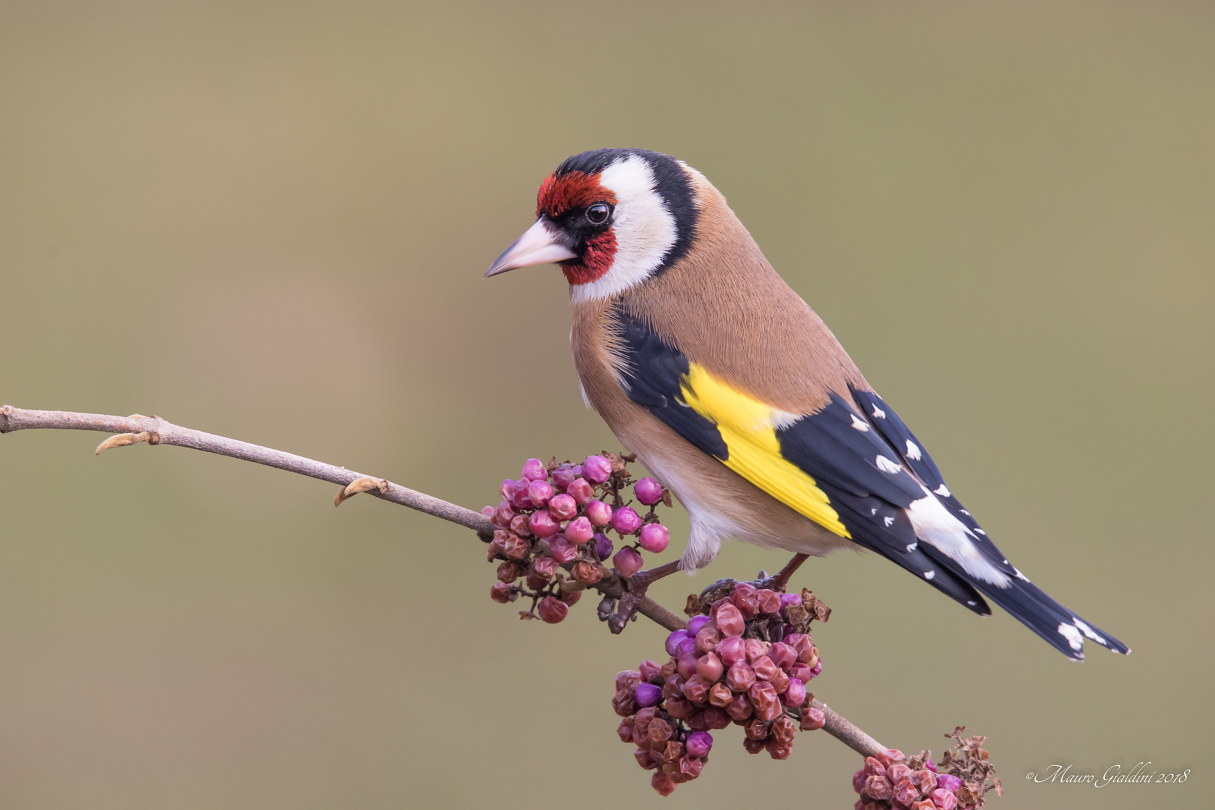Goldfinch on Callicarpa...