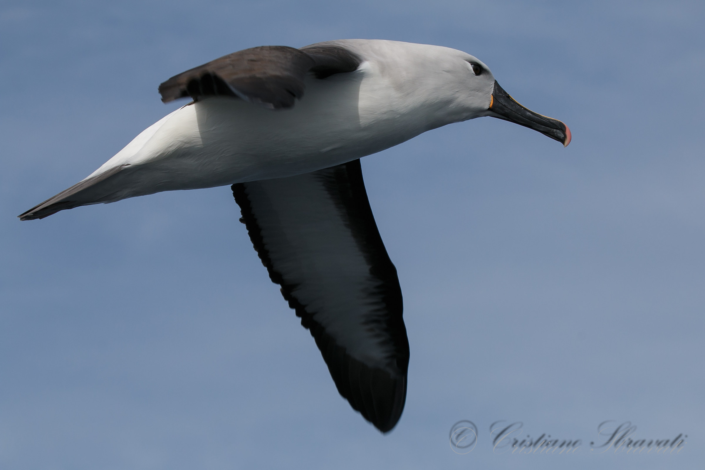 Indian Yellow-nosed Albatross ad...