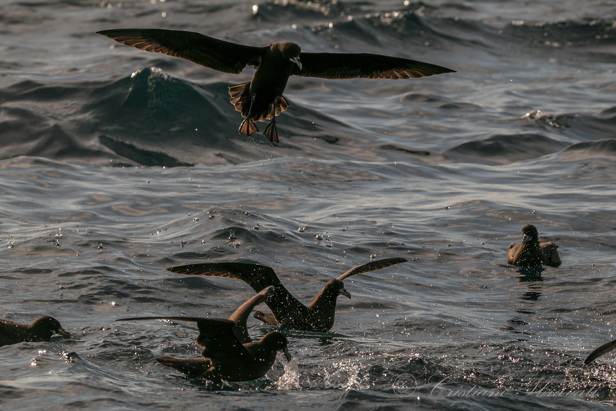 White-chinned Petrel...
