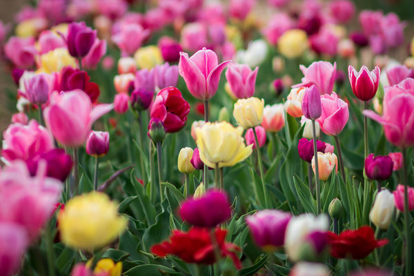 Sanfy99 tutte le foto juzaphoto for Tulipani italiani
