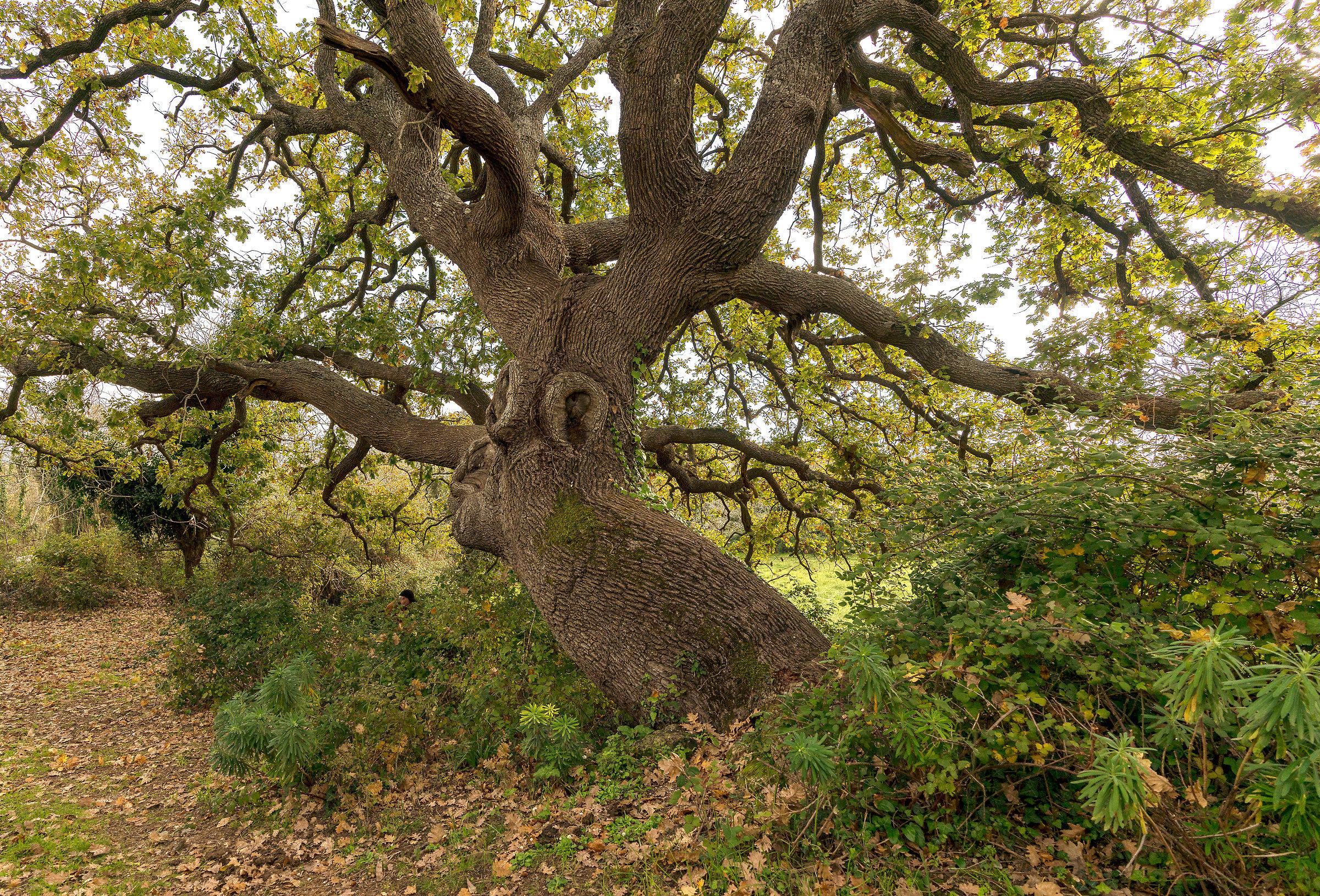 quercia più antica degli Iblei...
