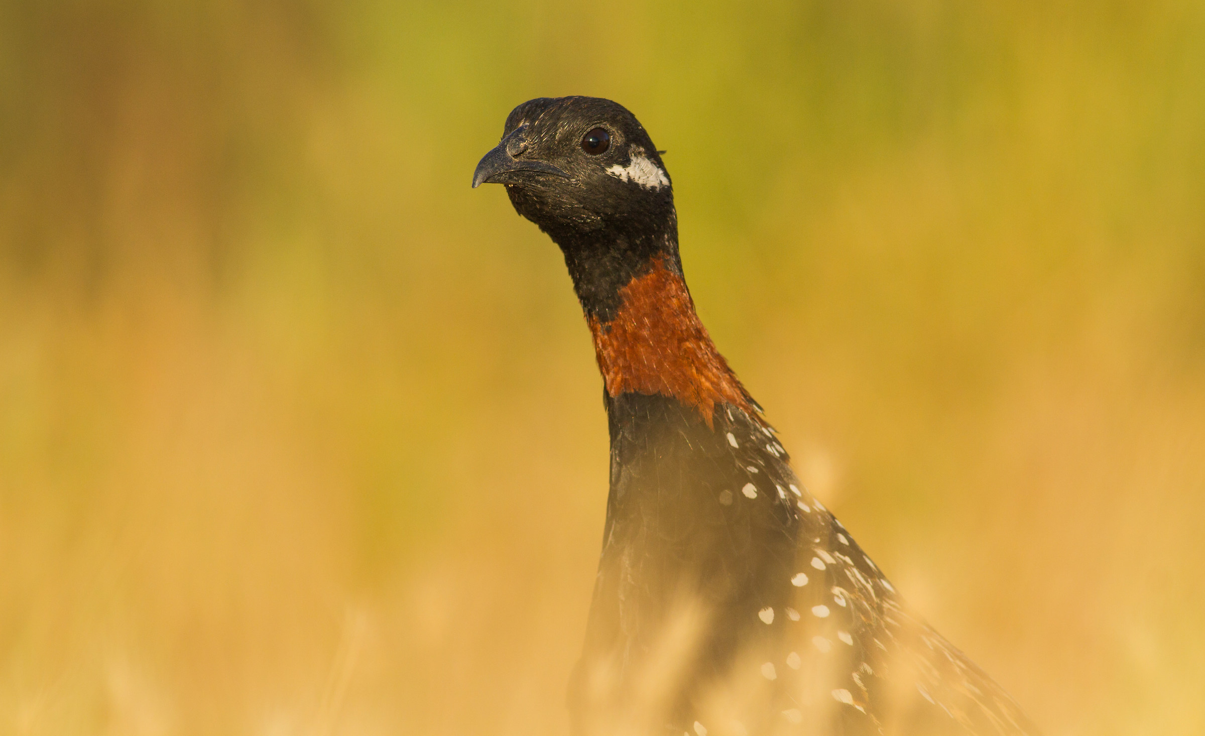 rising from the deep grass ( male black francolin )...