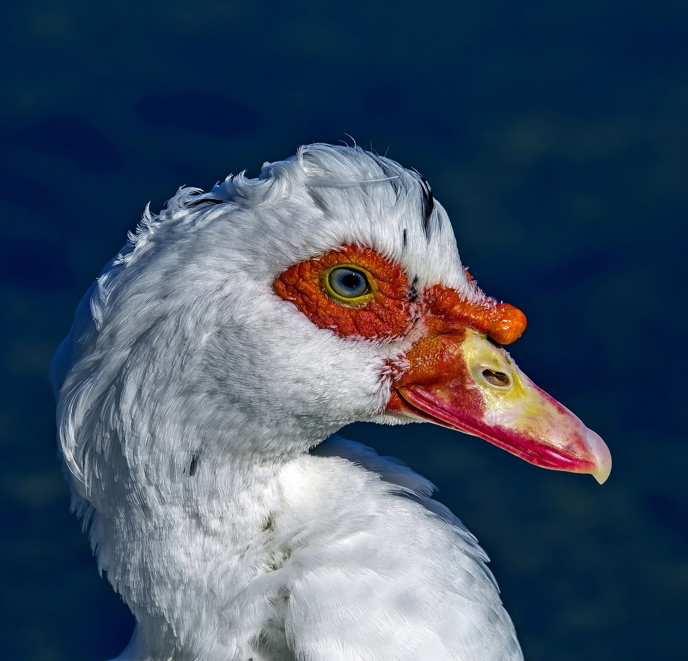 White muscovy duck...