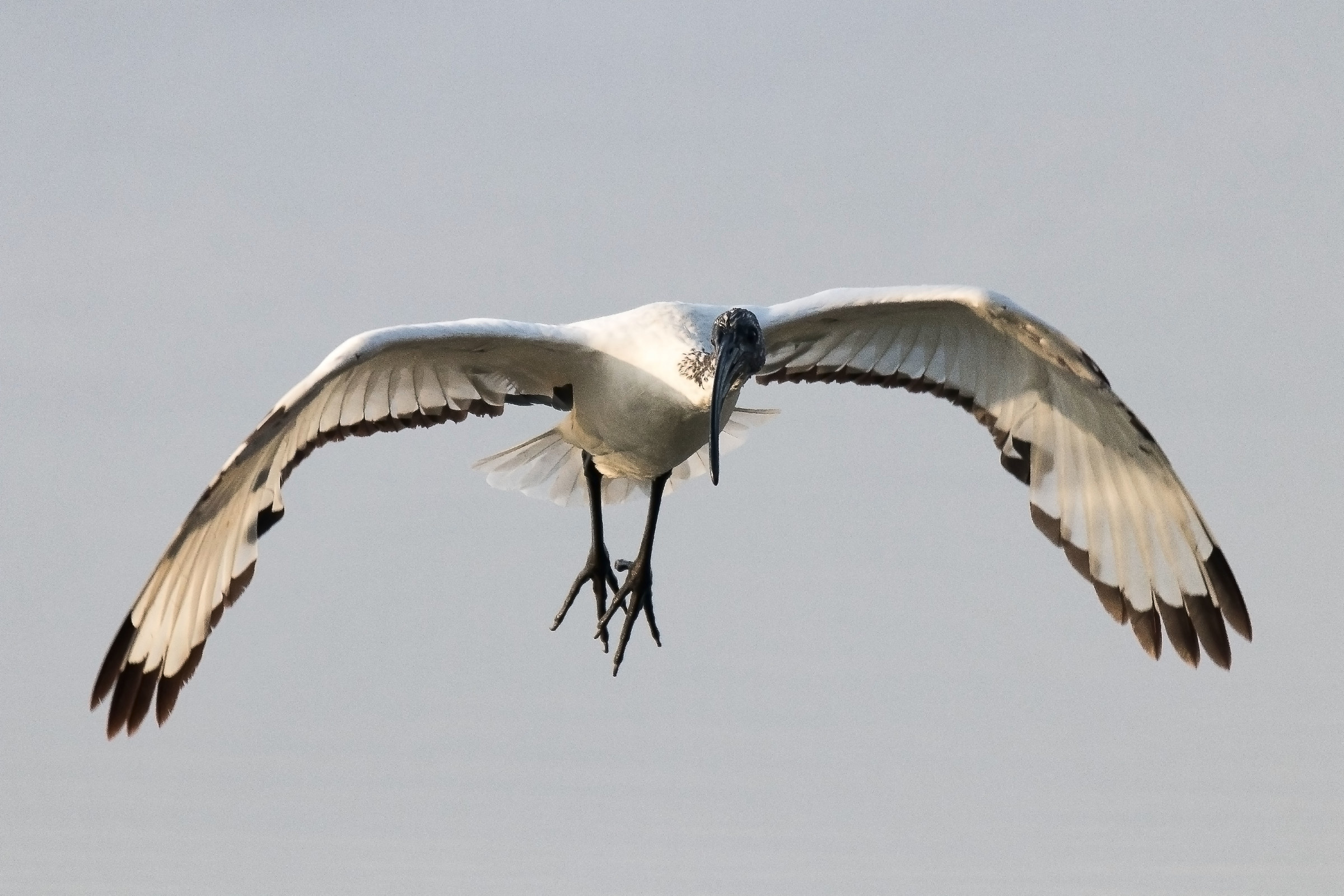 The sacred flight of the Ibis...